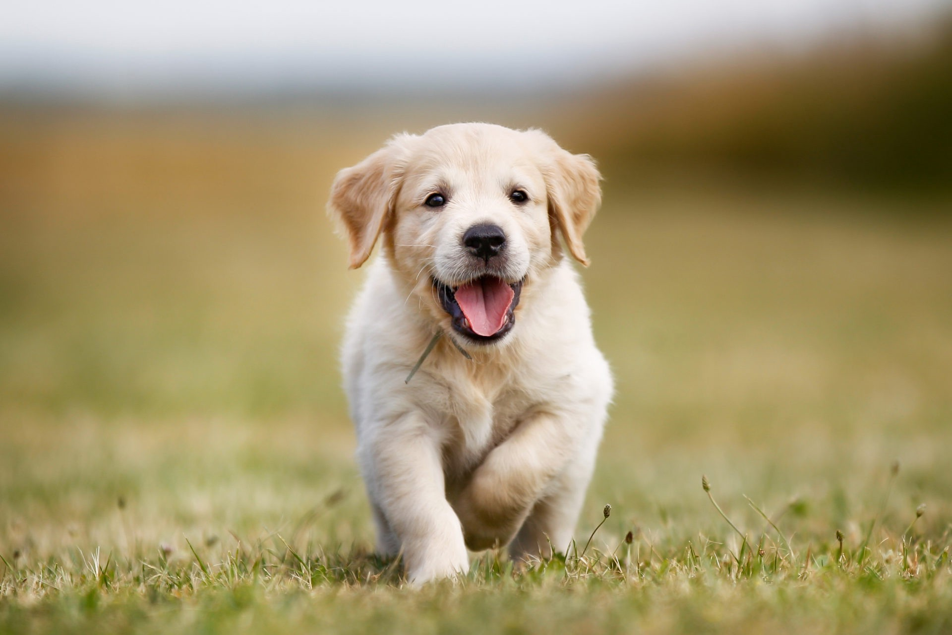 The Golden Retriever Facts And