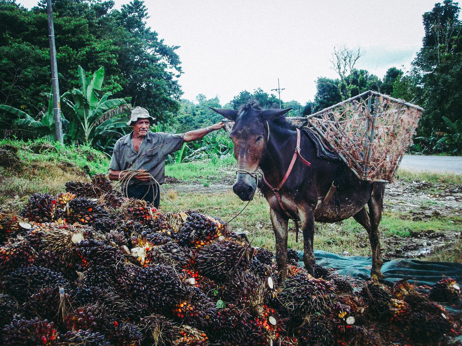 A man loads a donkey with harvested palm oil fruit in Costa Rica