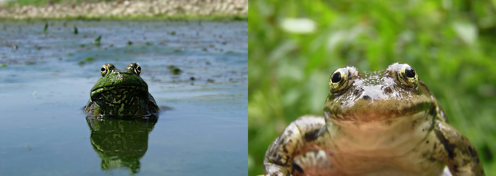 Side-by-side comparison of two dark green frogs with bulgy gold eyes that look similar in appearance.