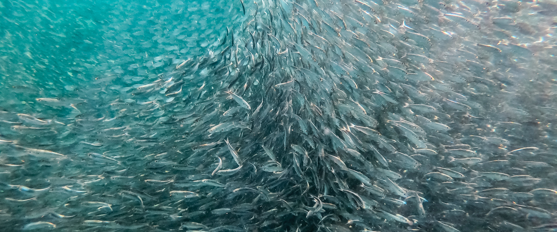 A school of fish changing direction