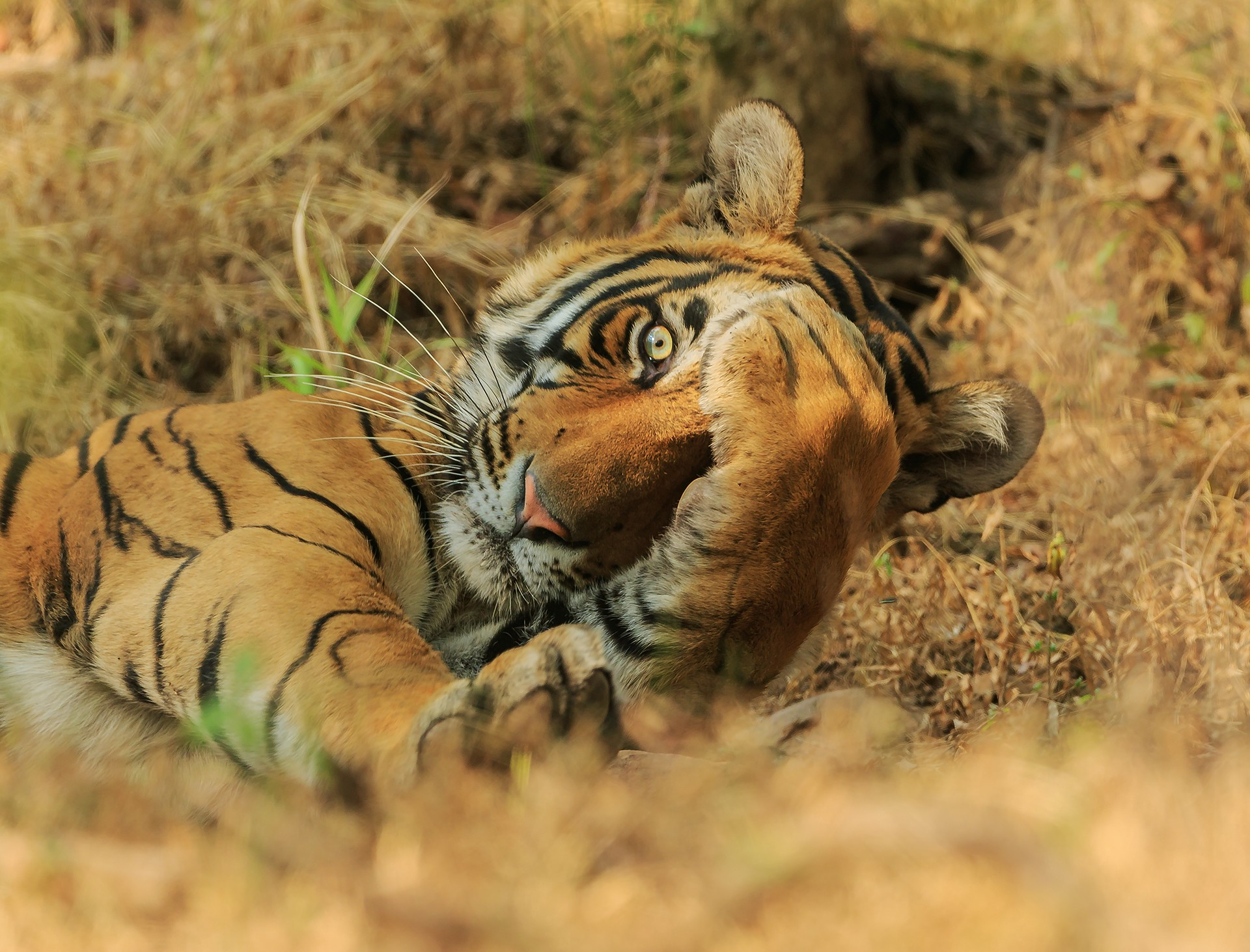 A young tiger whose paw is over part of his face and whose visible eye is opened wide