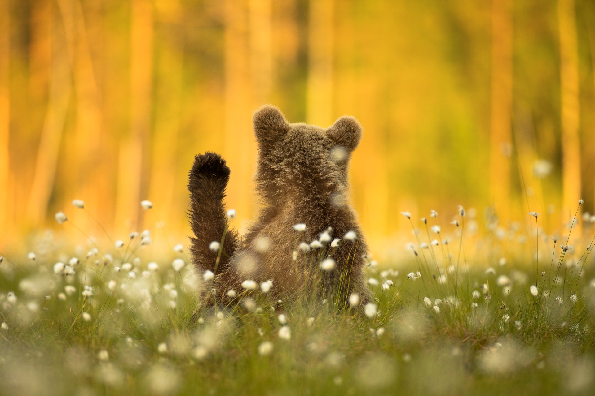 A young bear appears to wave in Finland.
