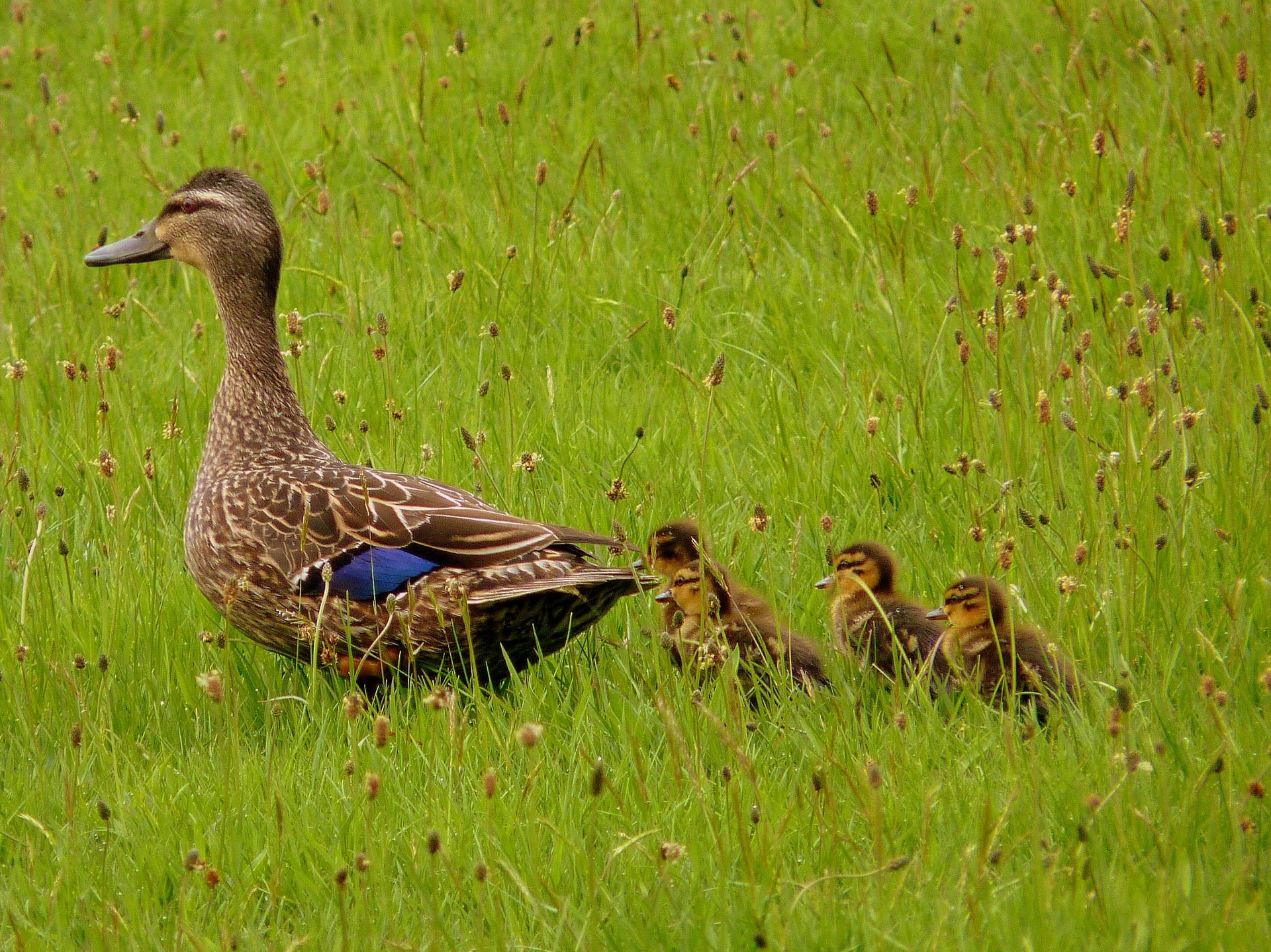 mother duck leading four ducklings through a meadow