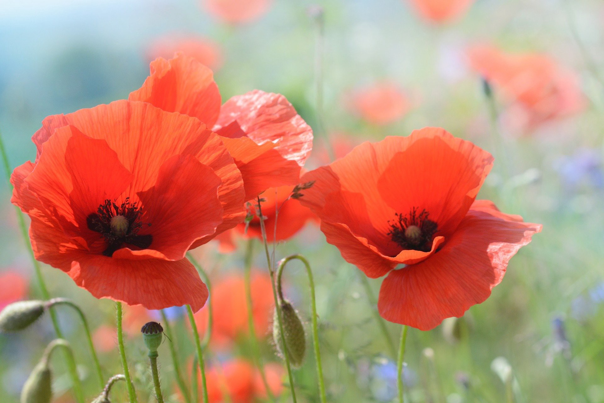 Red poppies growing in a field.