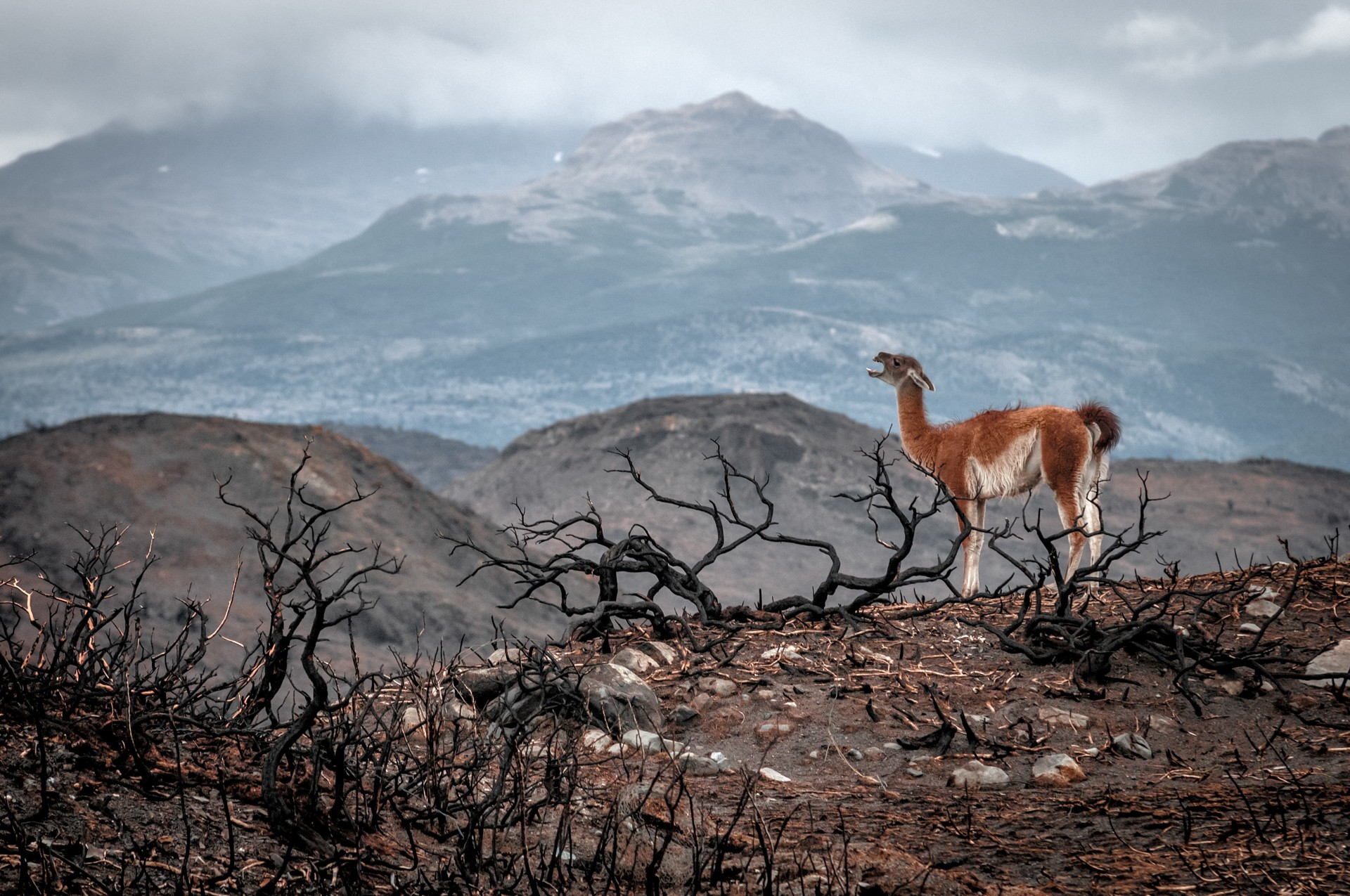 A llama calls for her herd after a forest fire.