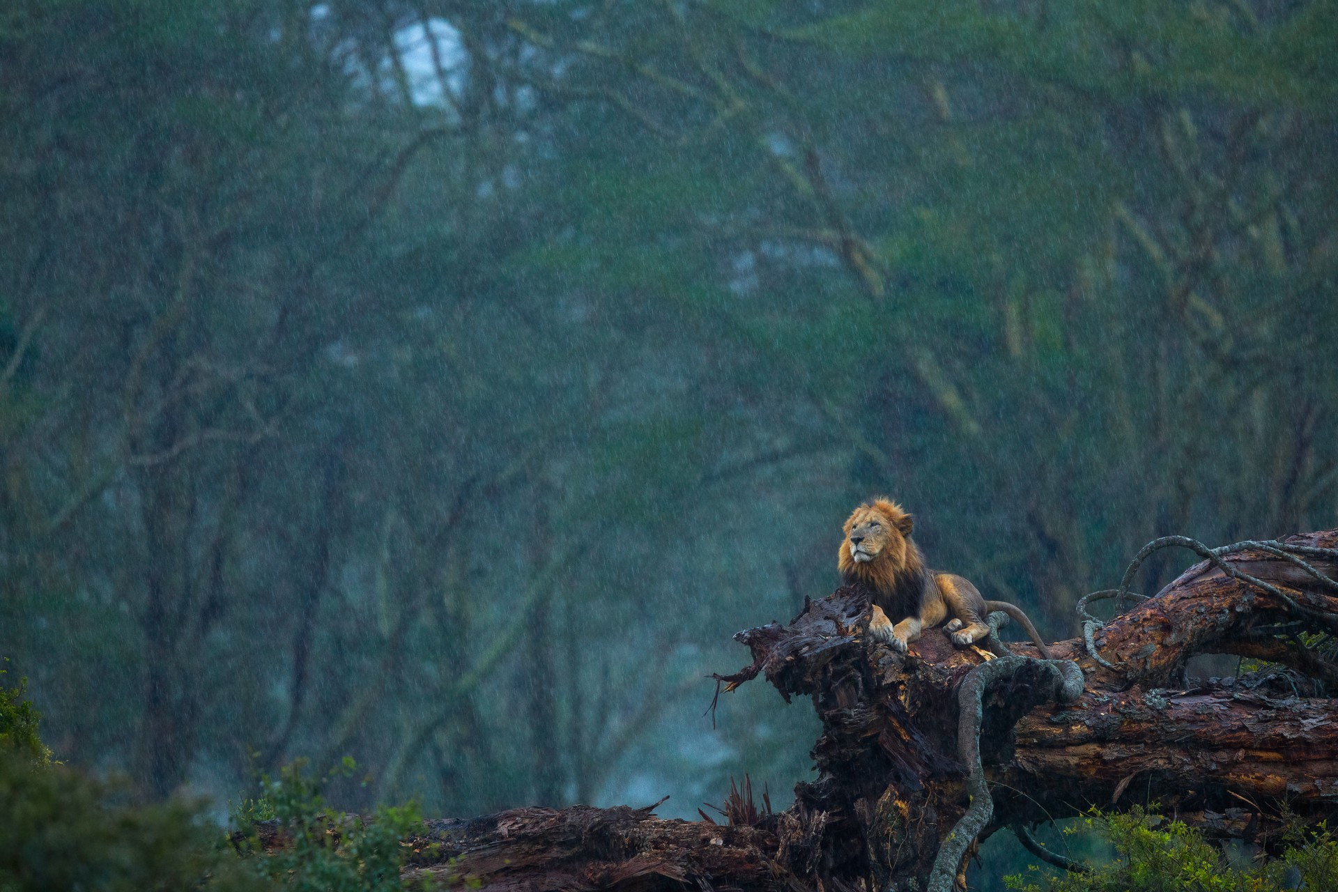 A lion perches on a log during a rainstorm in Lake Nakuru National Park.