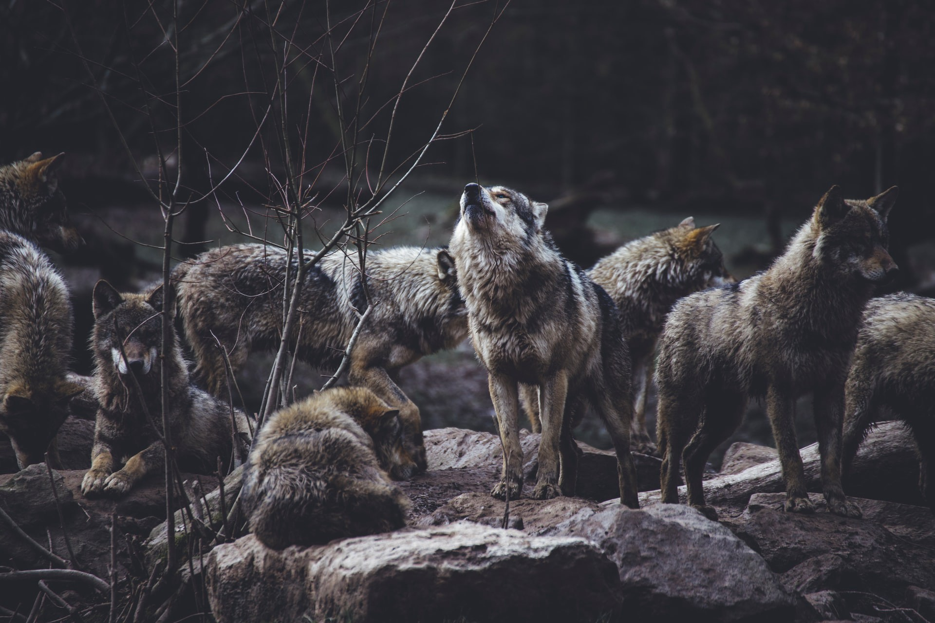 Pack of wolves at night.