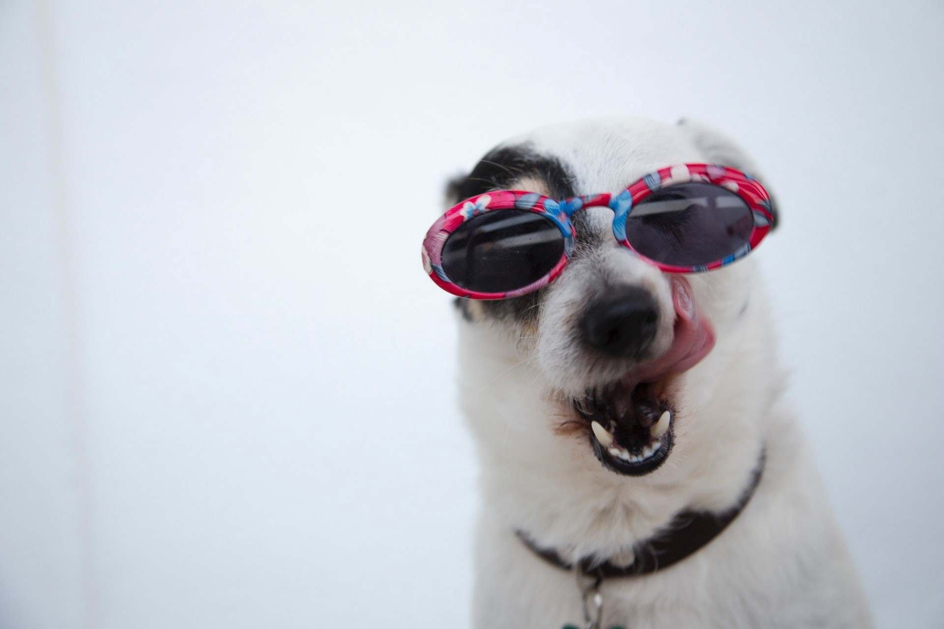 Close-up of dog in funny sunglasses.