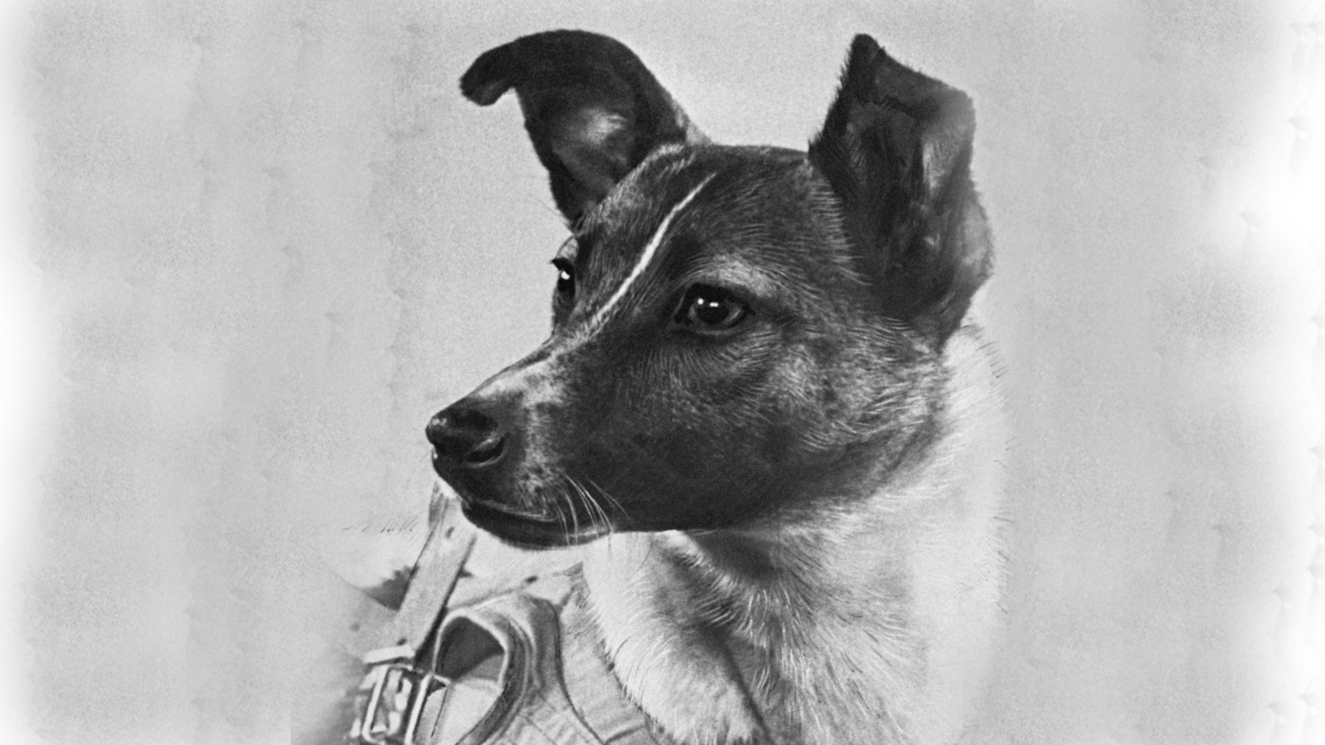 Laika. A true story | by Ella Alderson | Aug, 2020 | Medium