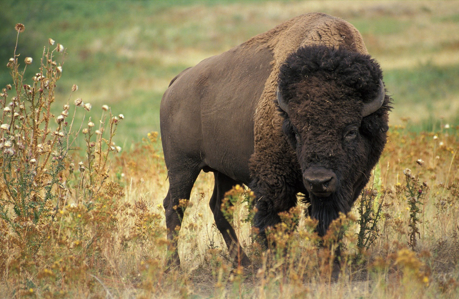 American Bison in the wild