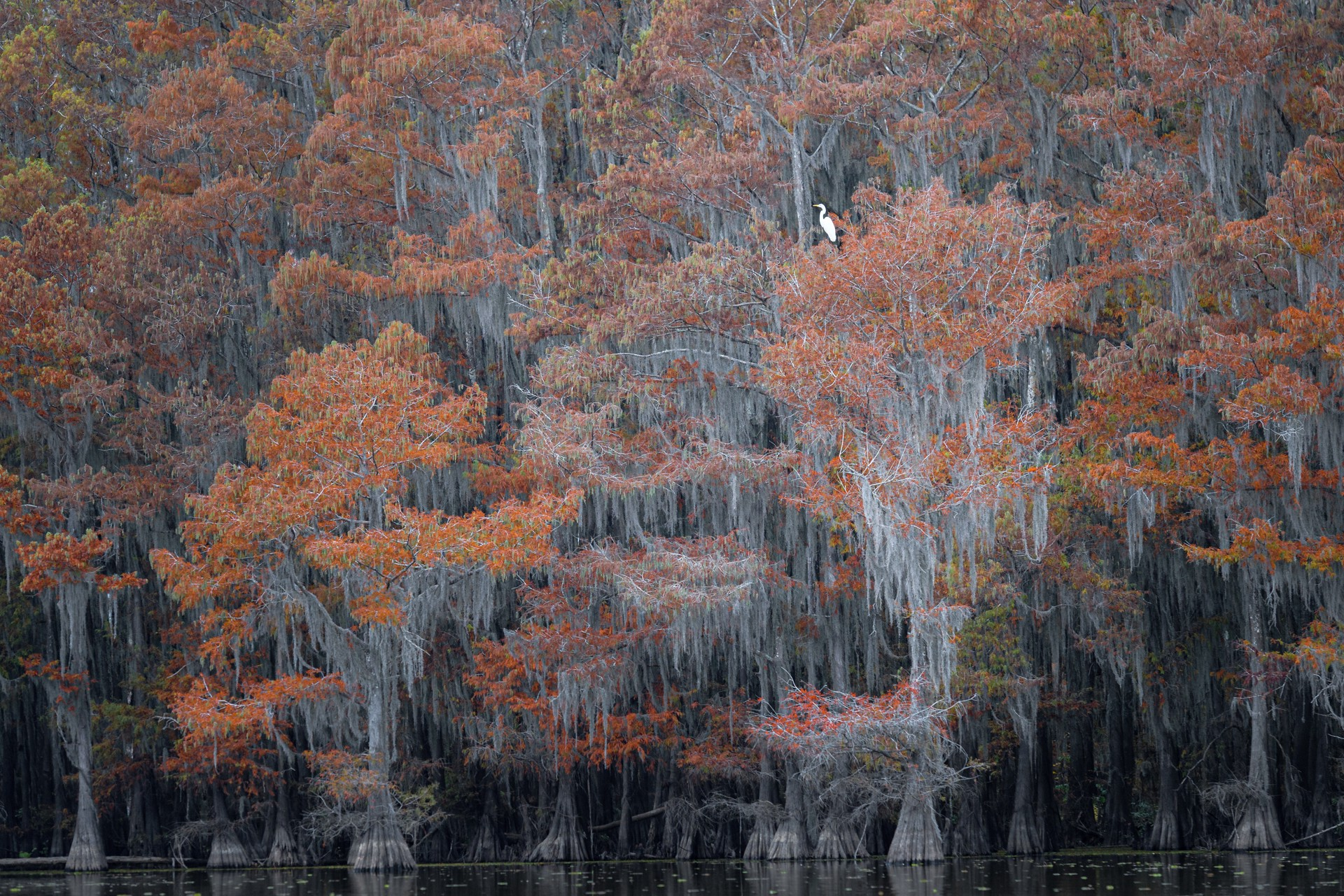 A lone egret emerges from a large forest in Louisiana.