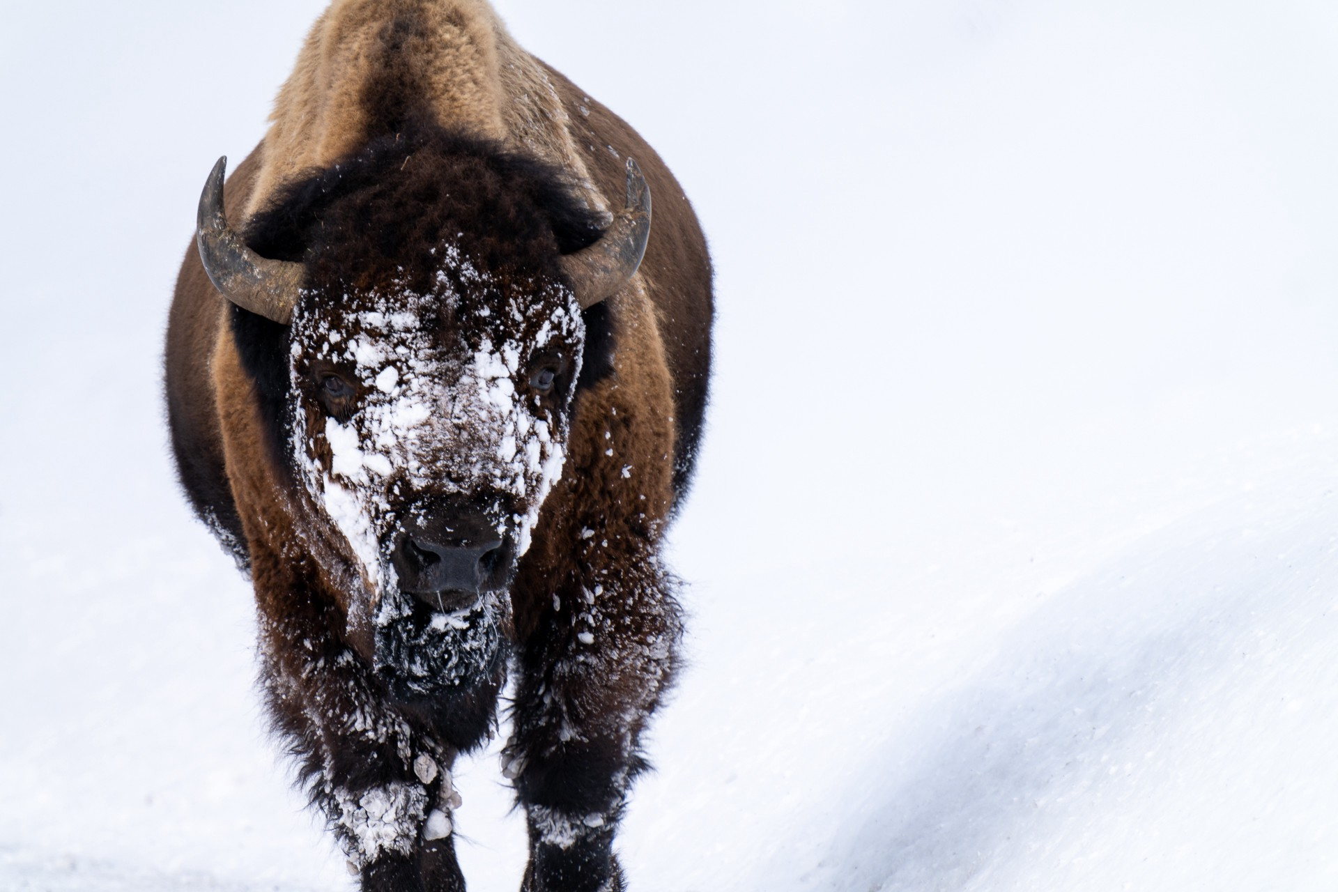 A bison with snow on his face.