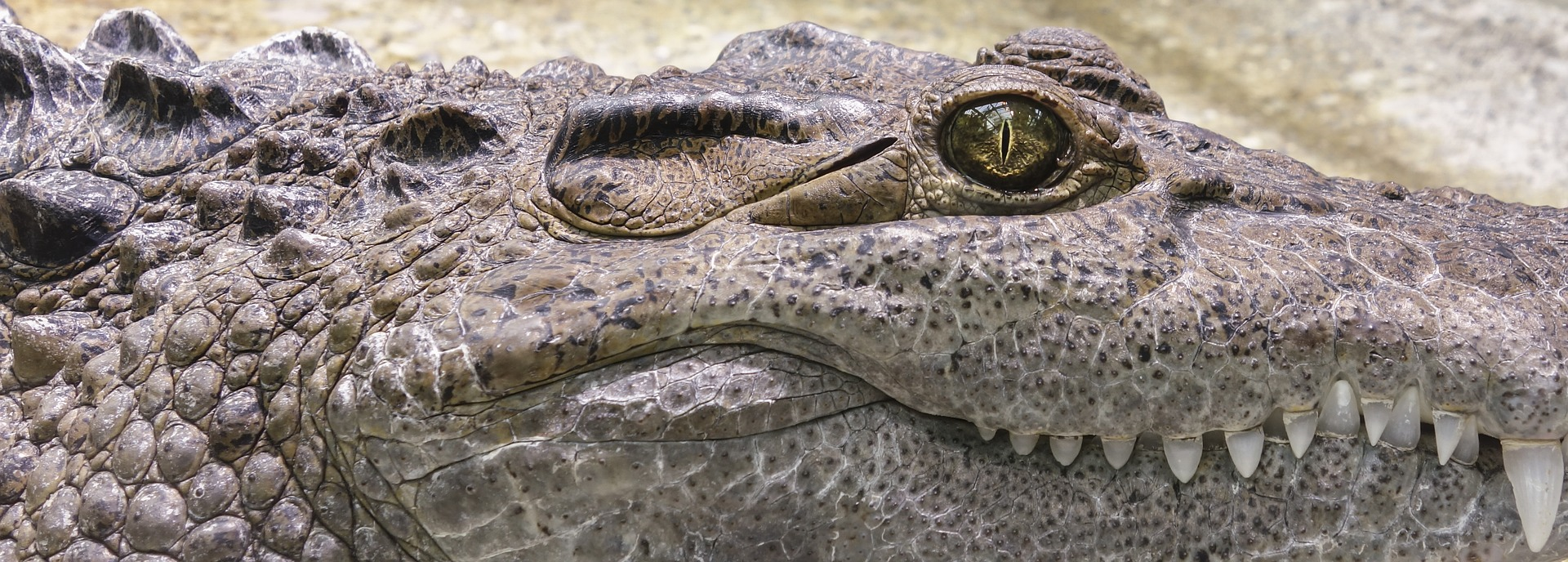 Face of a crocodile, up close, side view, bright day. Eye v. dark, teeth v. white. Yellow-brown dirt in background.