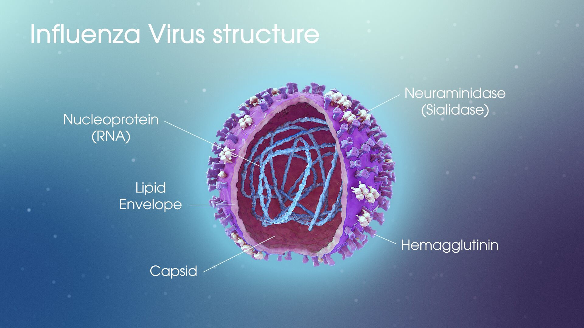A diagram of the Influenza Virus structure