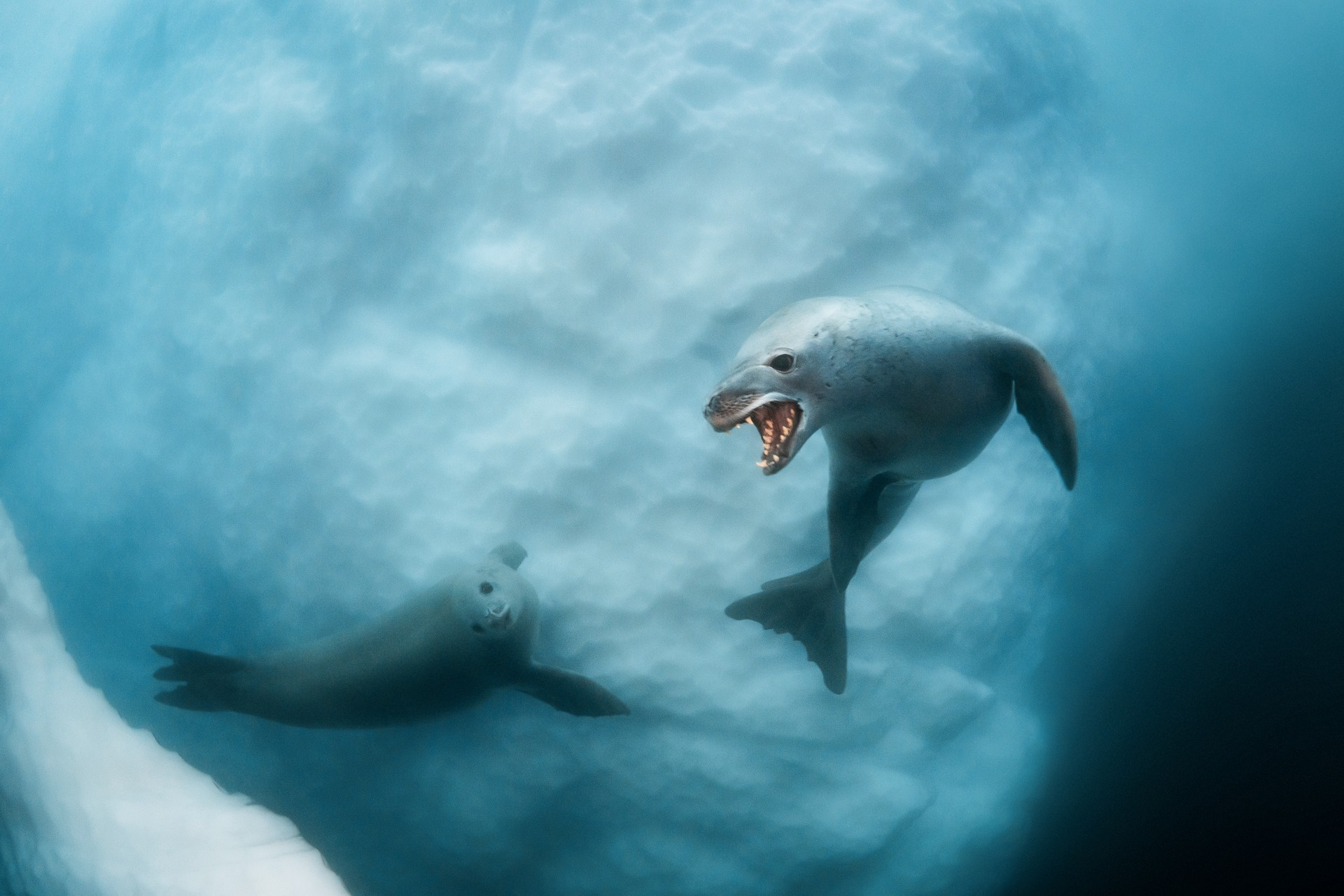 A leopard seal bares its teeth.