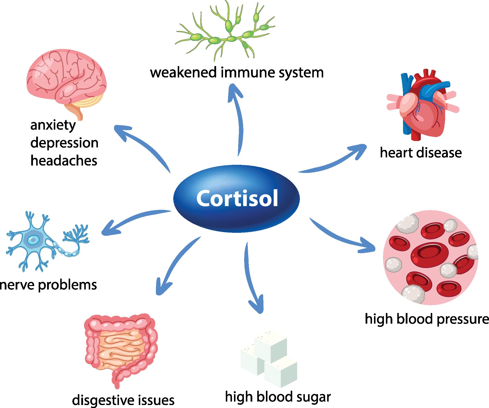 The role of the stress hormone cortisol in the body diagram illustration
