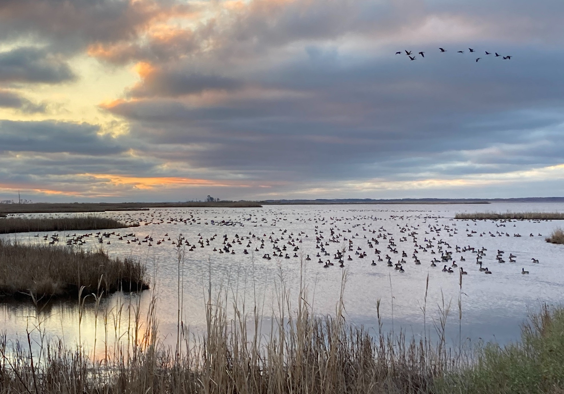 waterfowl in and over water with marshy shores