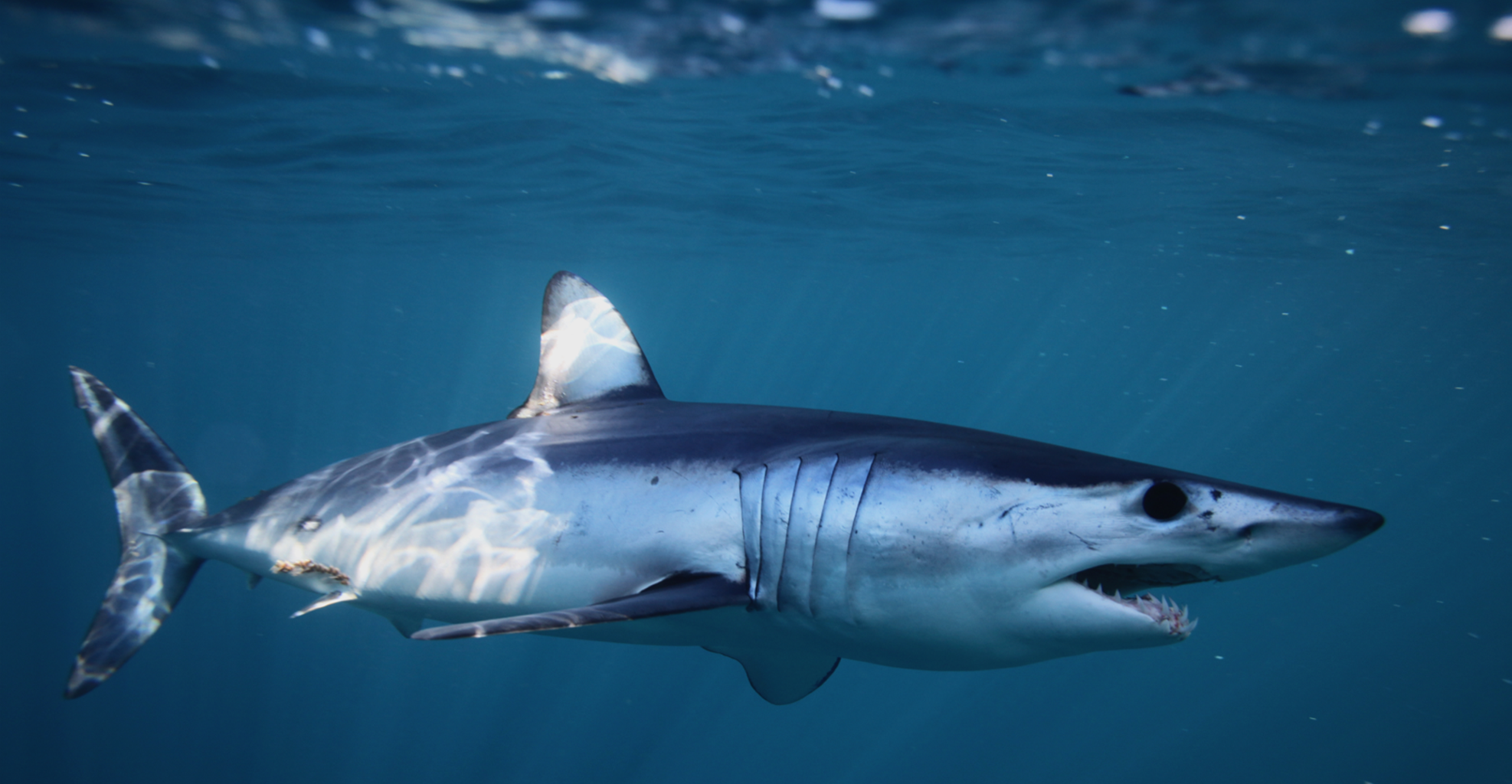 The shark crisis reflects the state of the Mediterranean | by WWF