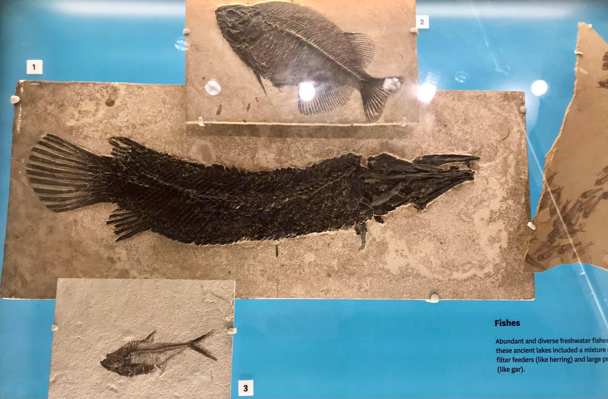 display showing fossilized gar with 2 other fossil fish