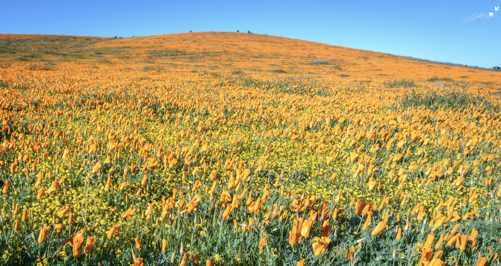 TBI's 5 Best: Views of the California Poppy Blooms - The