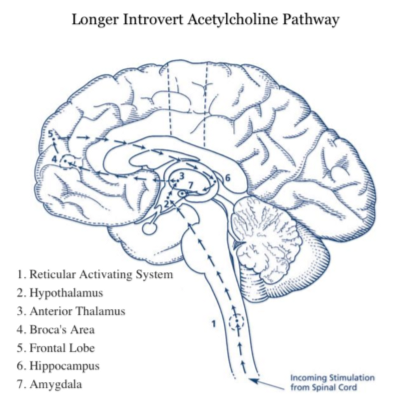 Longer Introvert Acetylcholine Pathway