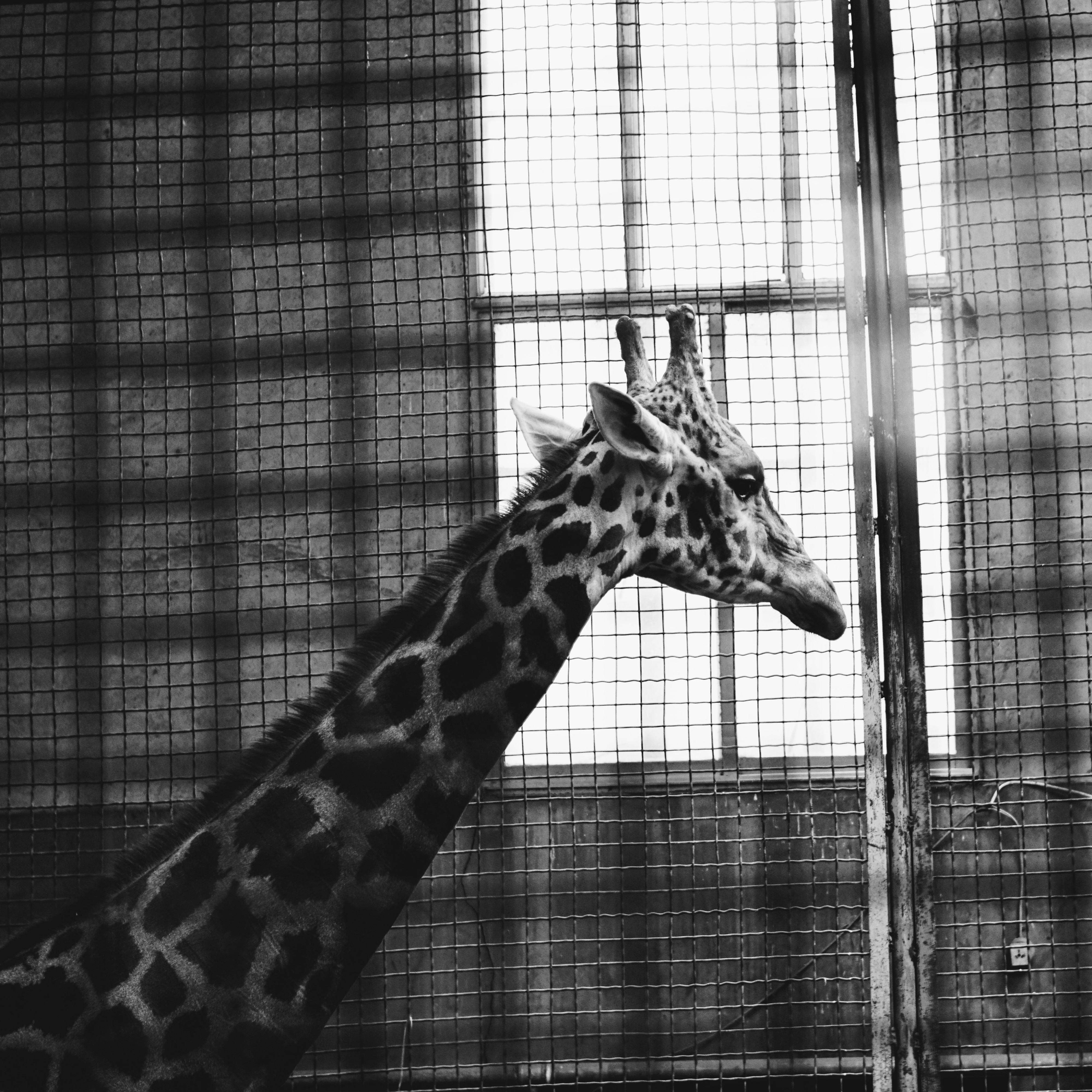 Black-and-white photo of a giraffe in a cage, looking out a window.