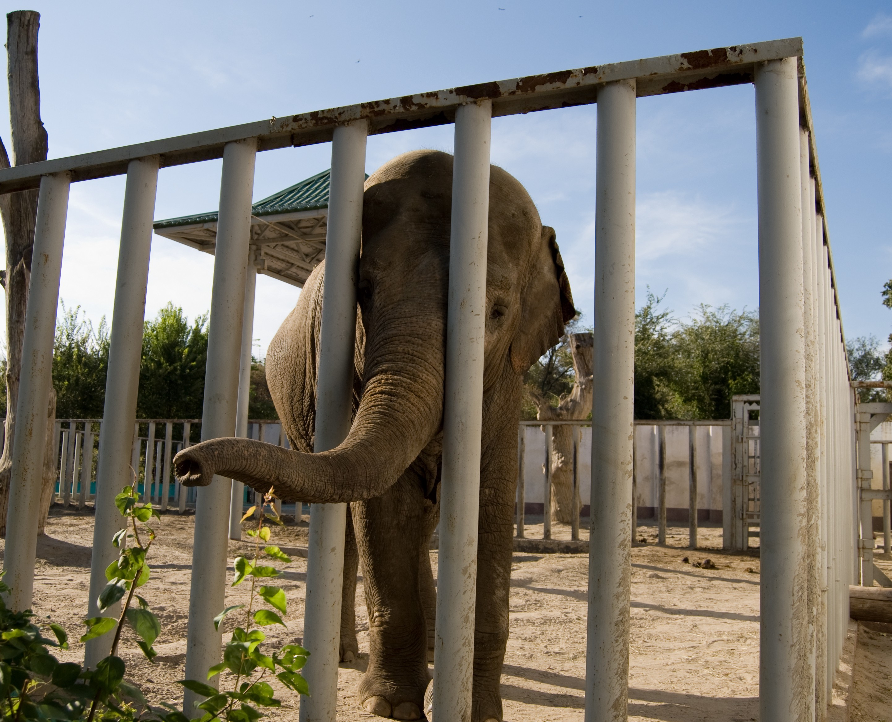 elephant in a cage