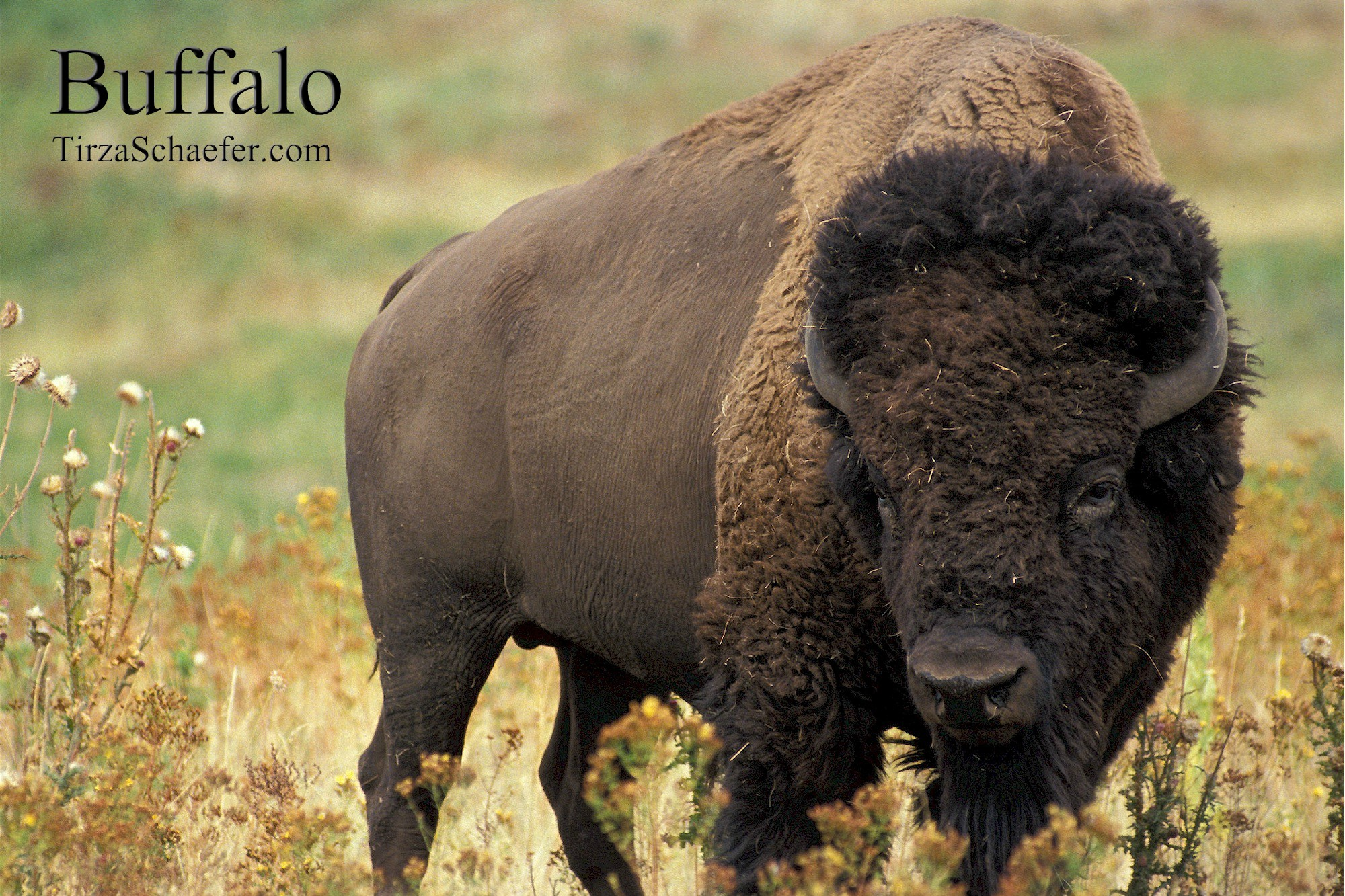 Power Animal Meditation: Buffalo by Tirza Schaefer