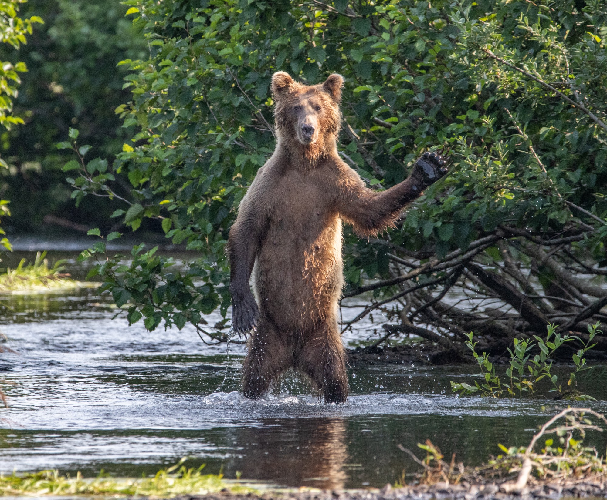An adolescent brown bear standing on his back legs in a creek with his arm outstretched in a semi wave, looking scruffy