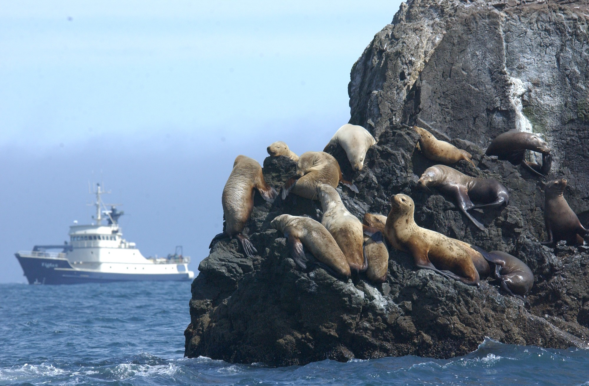 Steller's sealions in the Gulf of Alaska with the R/V Tiglax in the background by USFWS