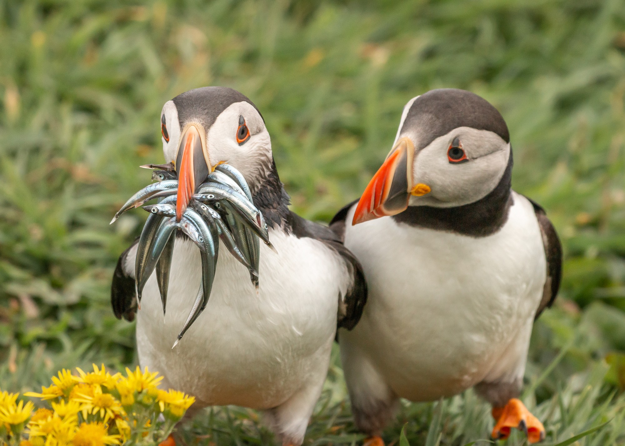 Two puffins pose together — one has a mouth teeming with shiny blue fish, and the other is simply staring at that bounty