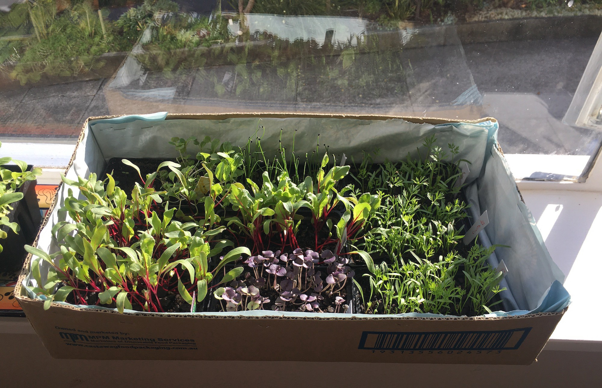 A box of seedlings sitting on a sunny windowsill. The seedlings include carrots, beets, basil, leeks, and pak choi.