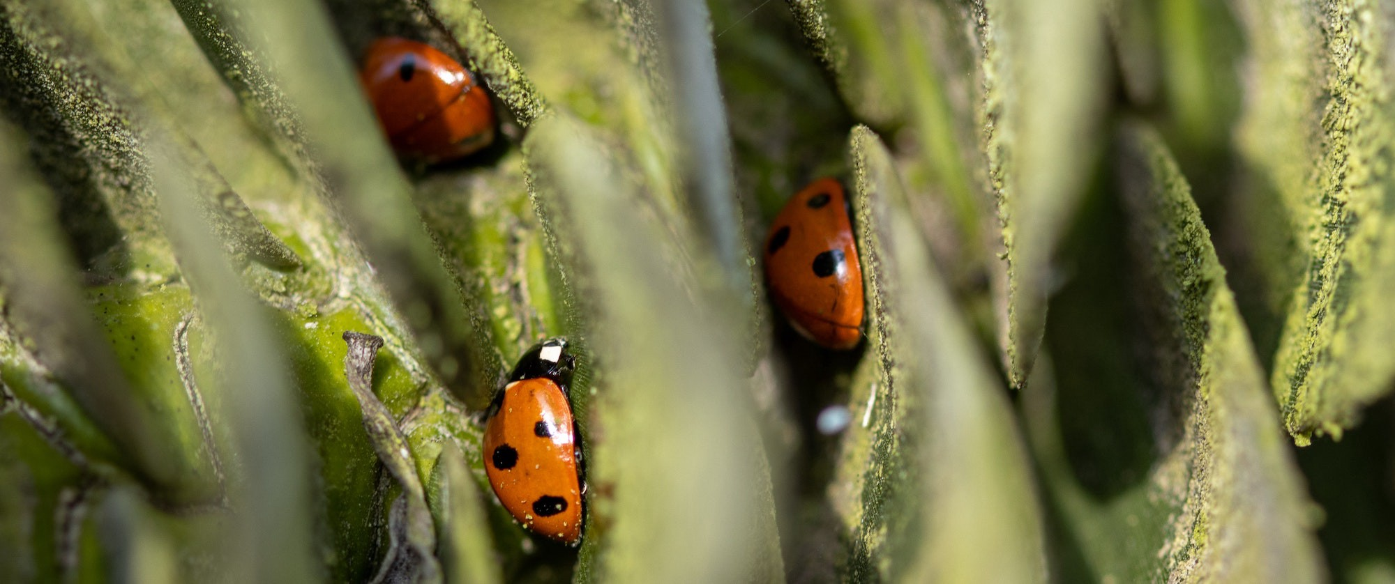 Cover photo of lady bugs hidden between leaves