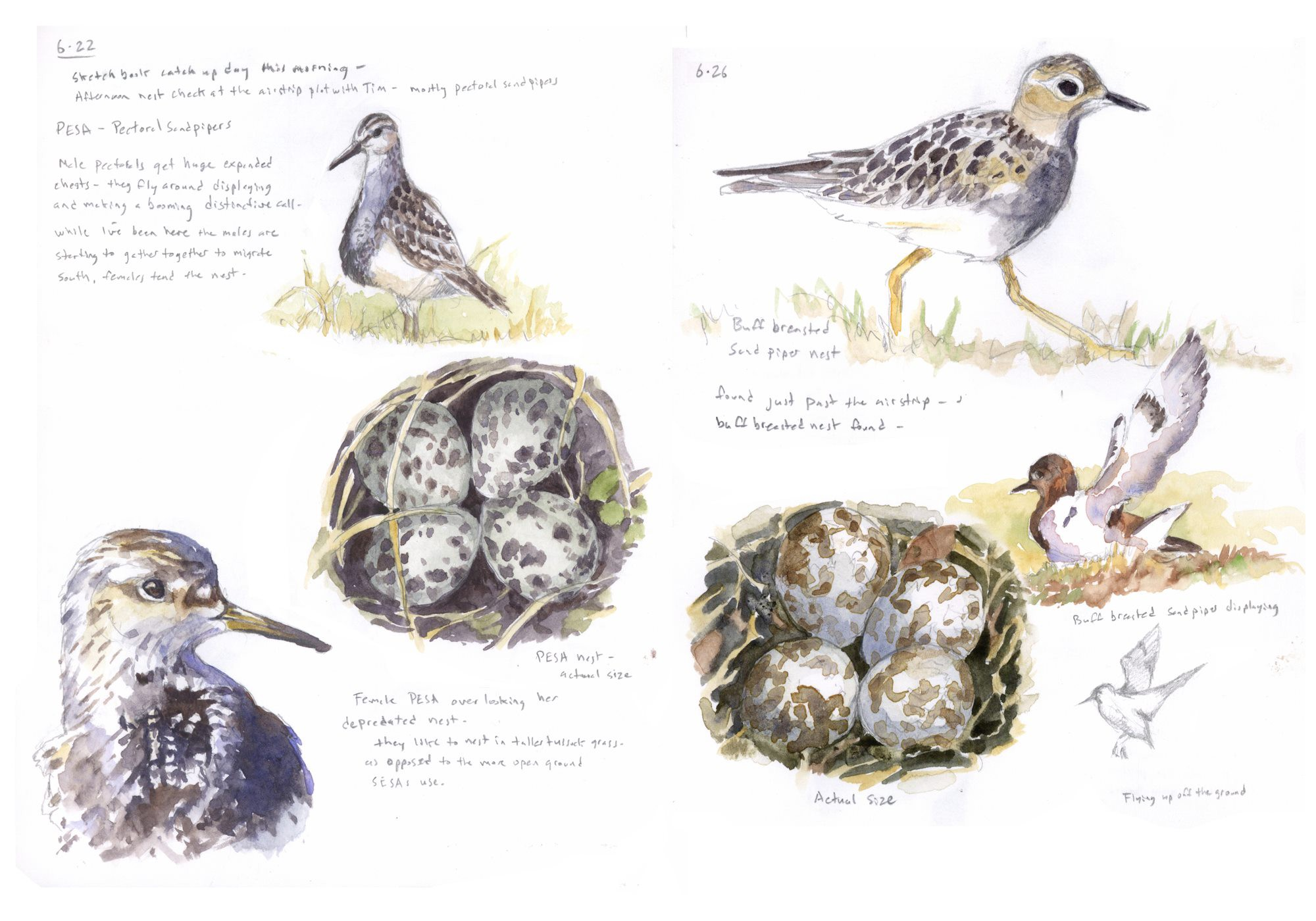 field sketches of birds and nests in a notebook