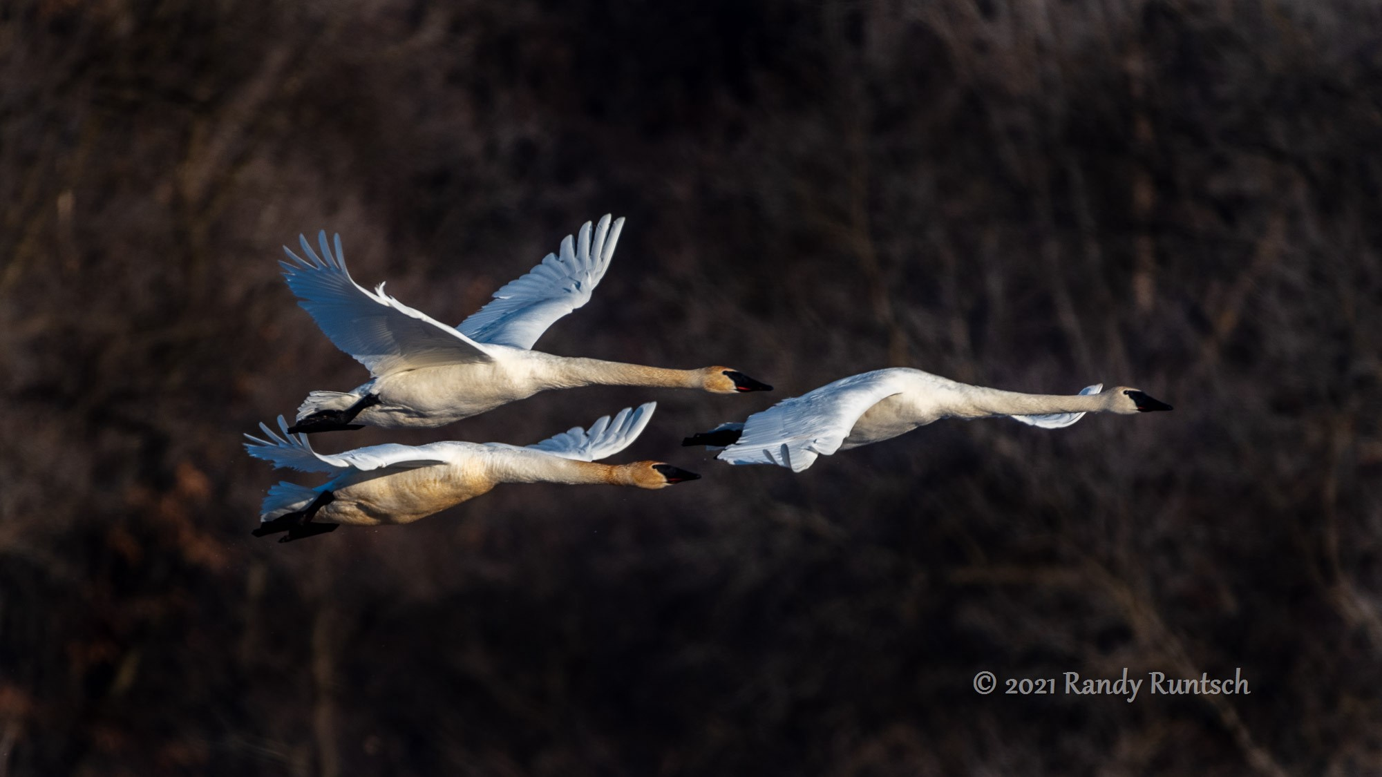 Trumpeter swans in flight.