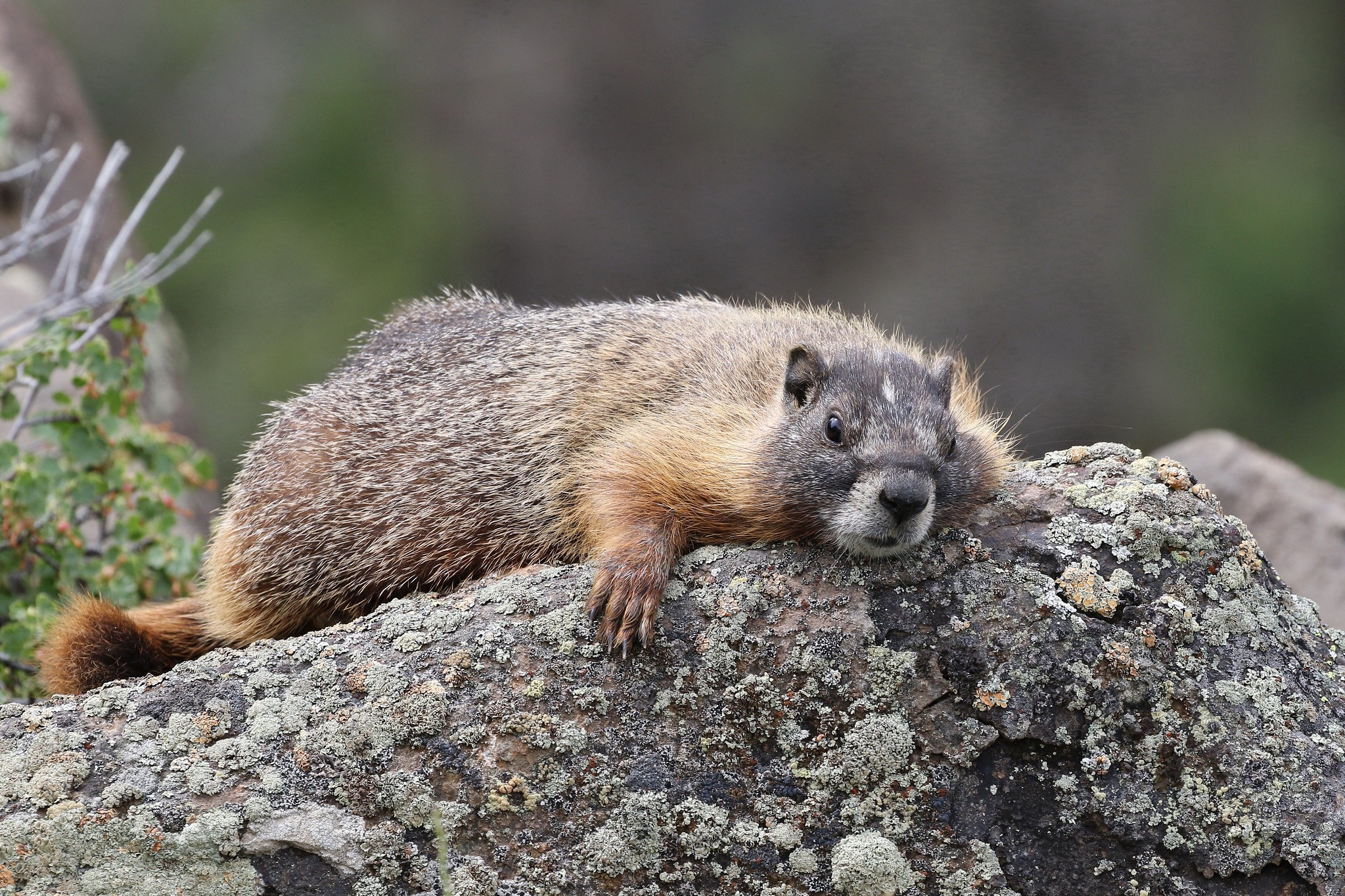 Yellow-bellied marmot sprawled out on a rock