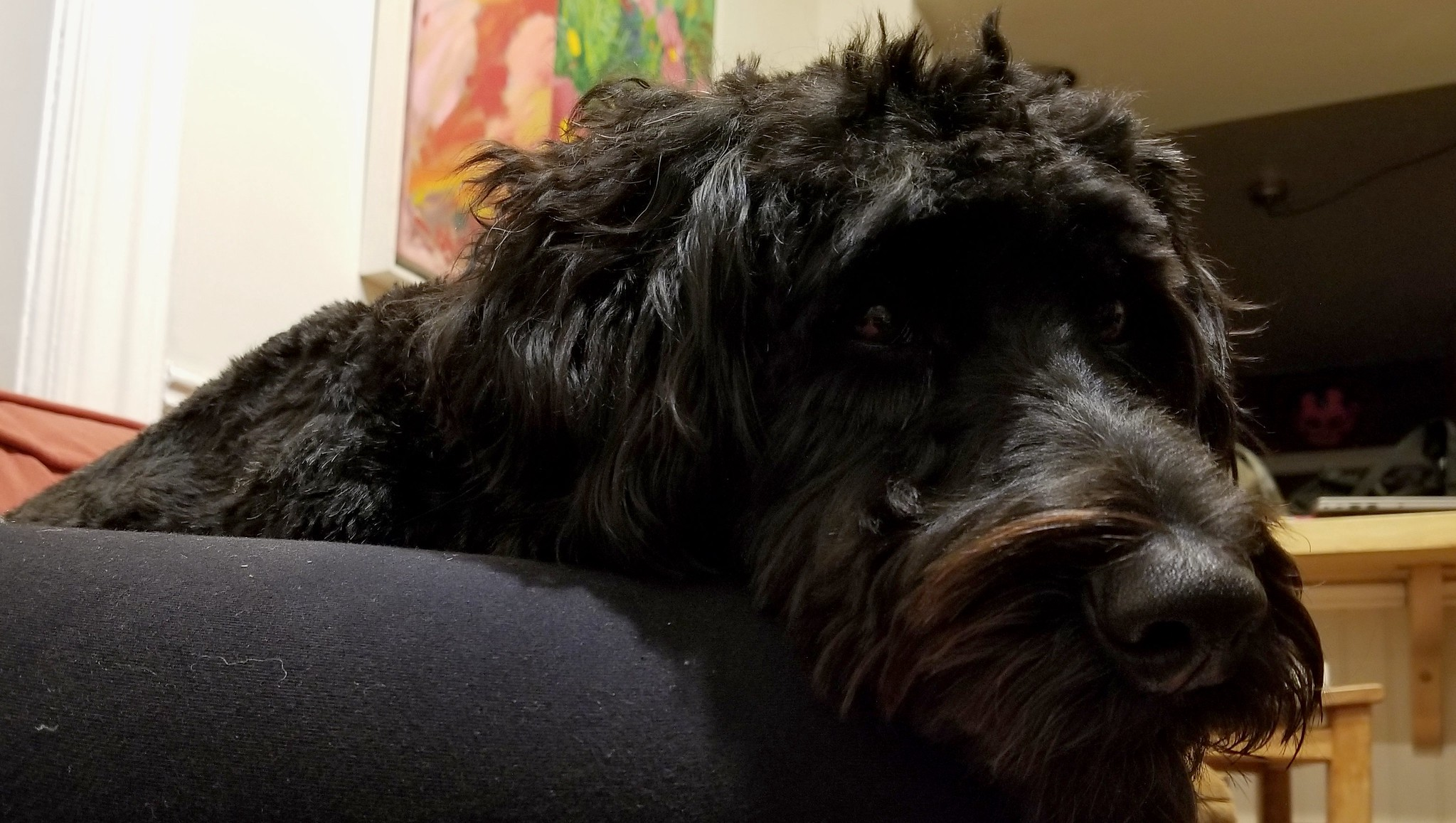 Sad black dog laying bored in bed.