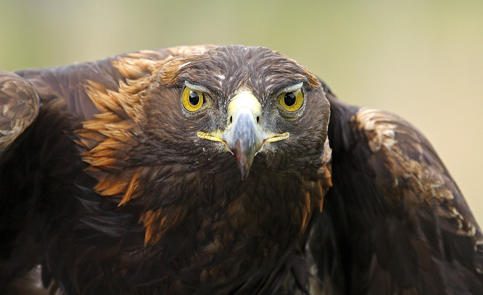 close-up of adult golden eagle with yellow eyes