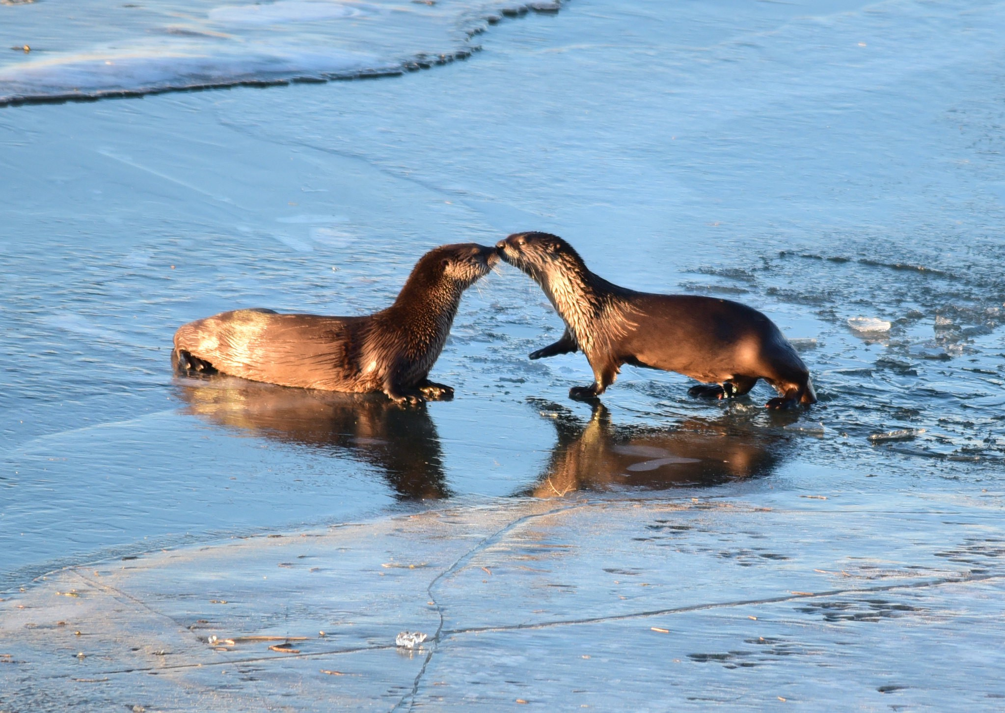 Two North American river otters nuzzling noses on ice