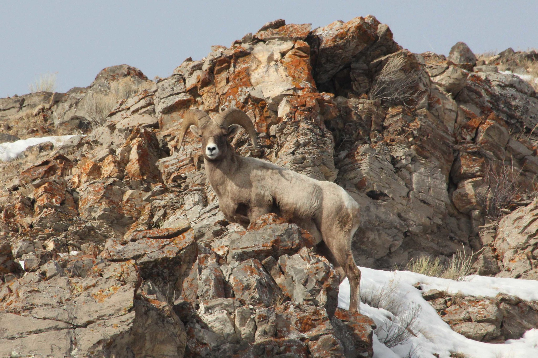 Adult bighorn sheep standing on rock cliffs with snow