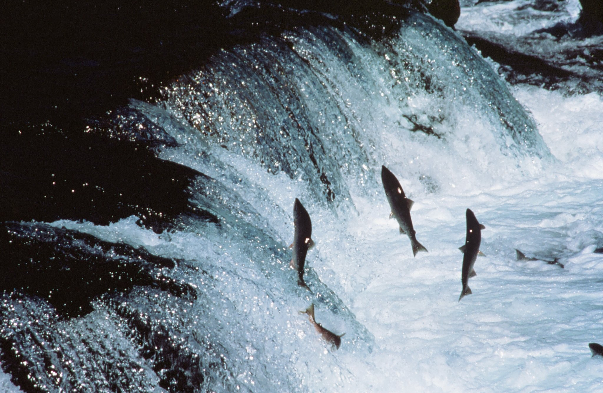 Adult Sockeye Salmon encounter a waterfall on their way up-river to spawn.