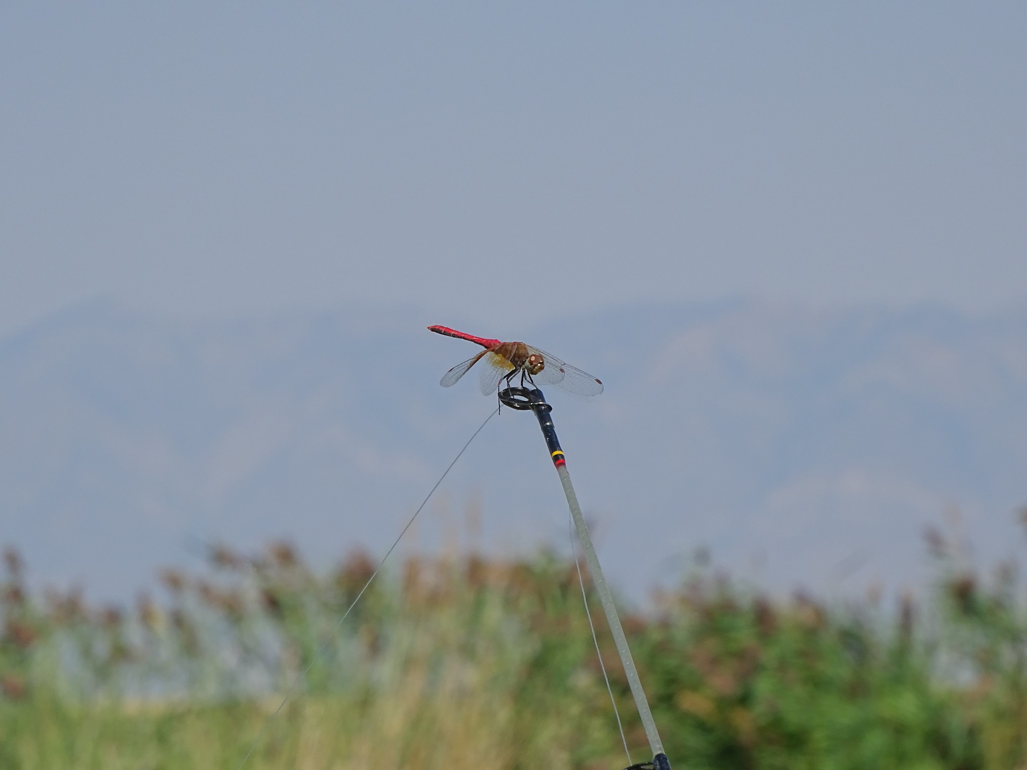 A dragonfly perches on the tip of a fishing rod.