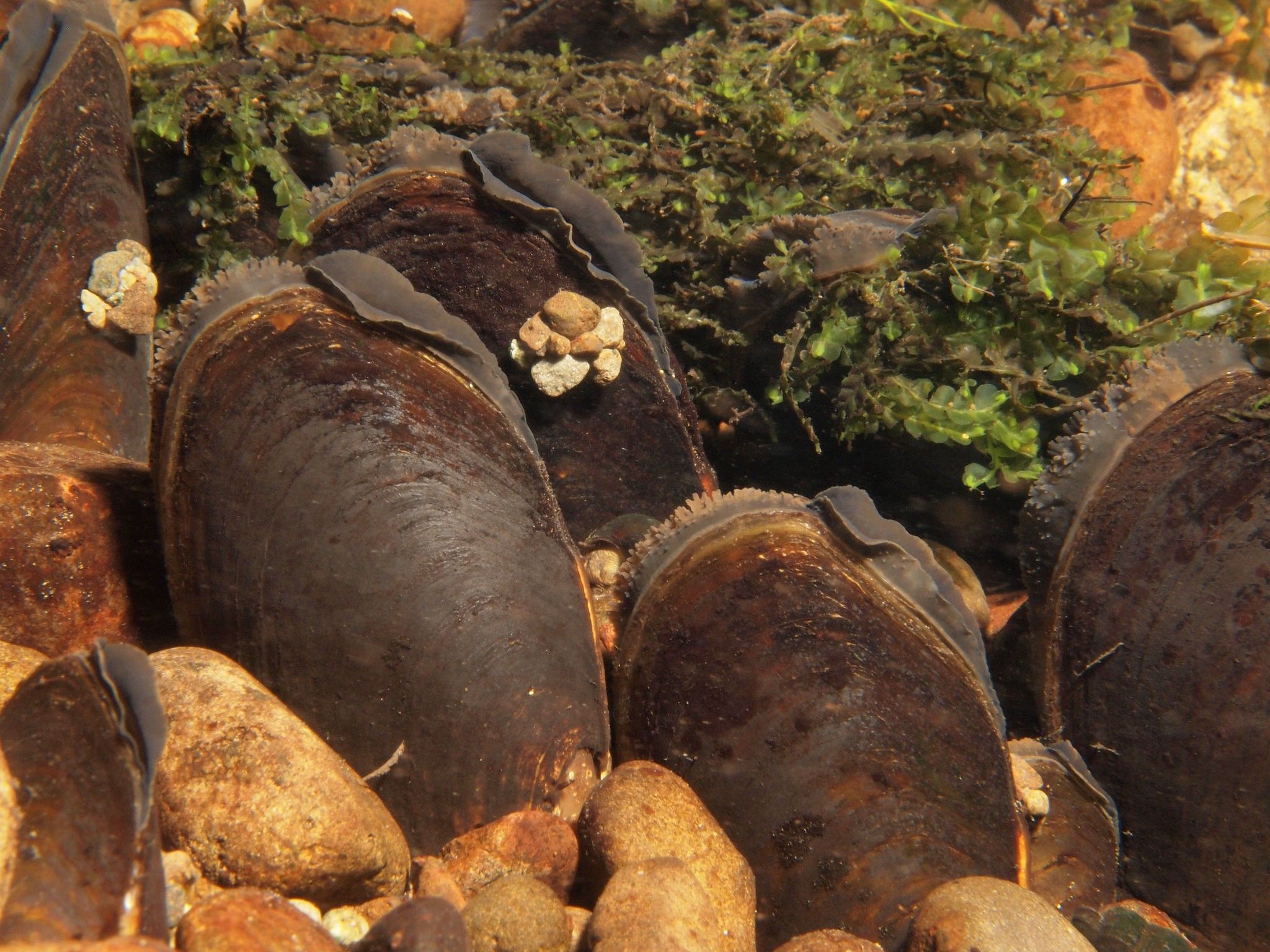 Western pearlshell mussels underwater and surrounded by moss and rocks