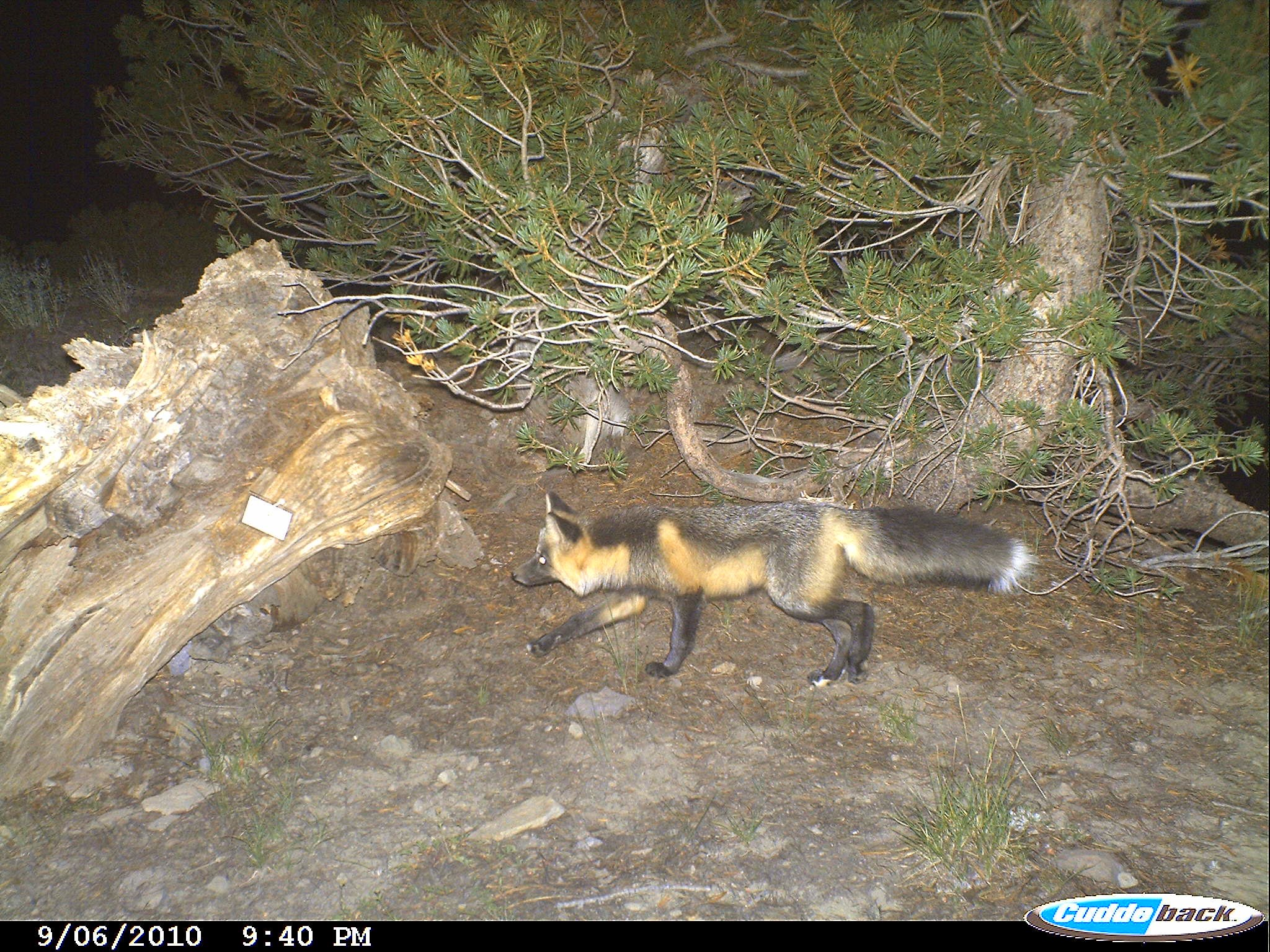 a black and red Sierra Nevada red fox walking through a forested area