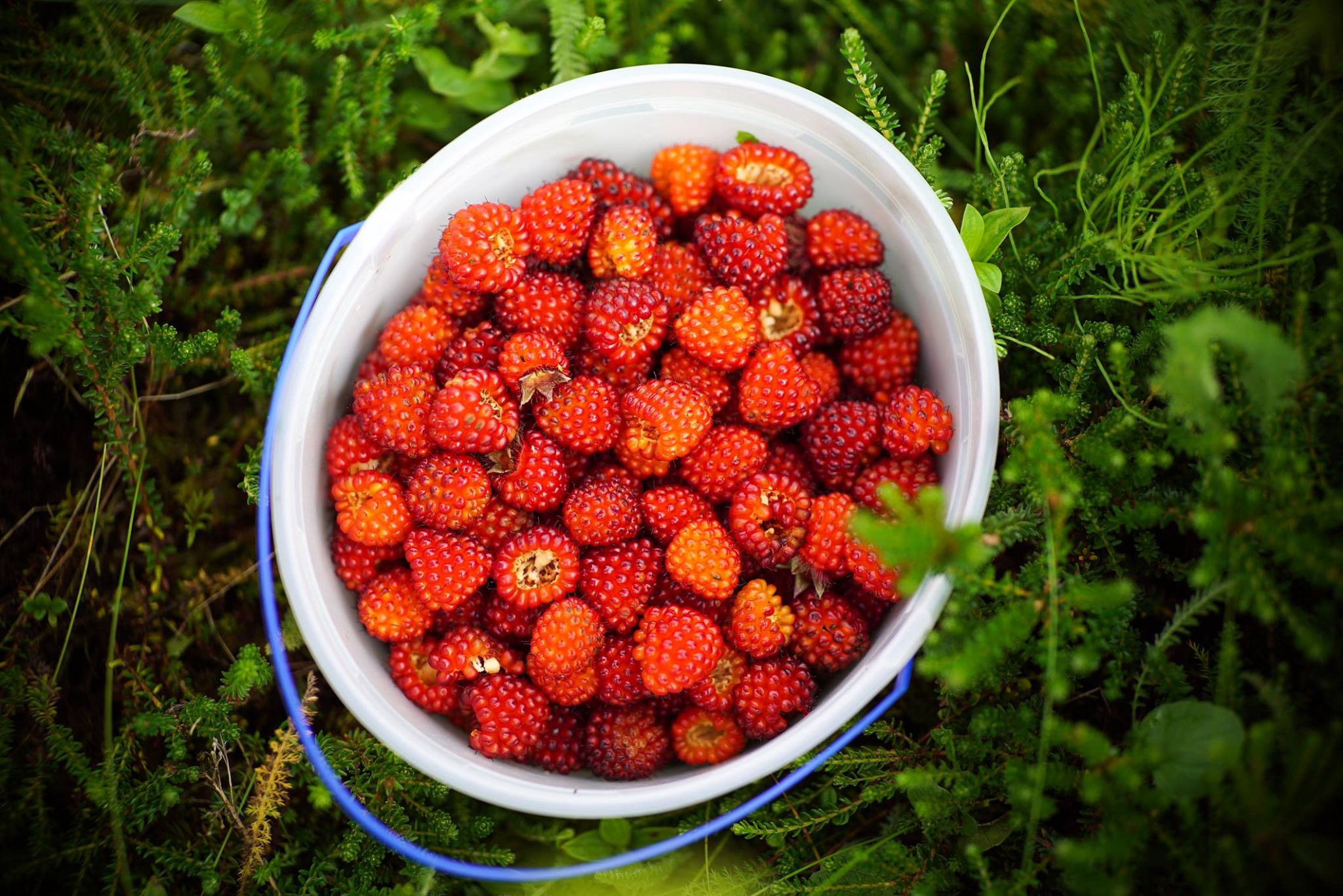 red berries in a white bucket on the coastal tundra