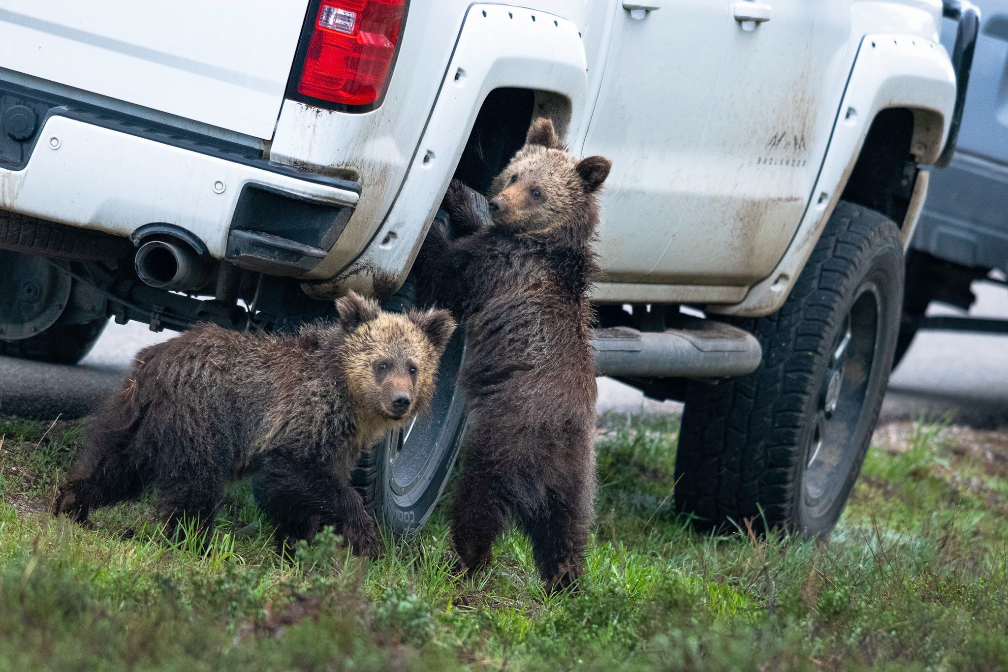Two small grizzly bears are gathered near the wheel of a truck, and one has his paws on the wheel as if he's turning it