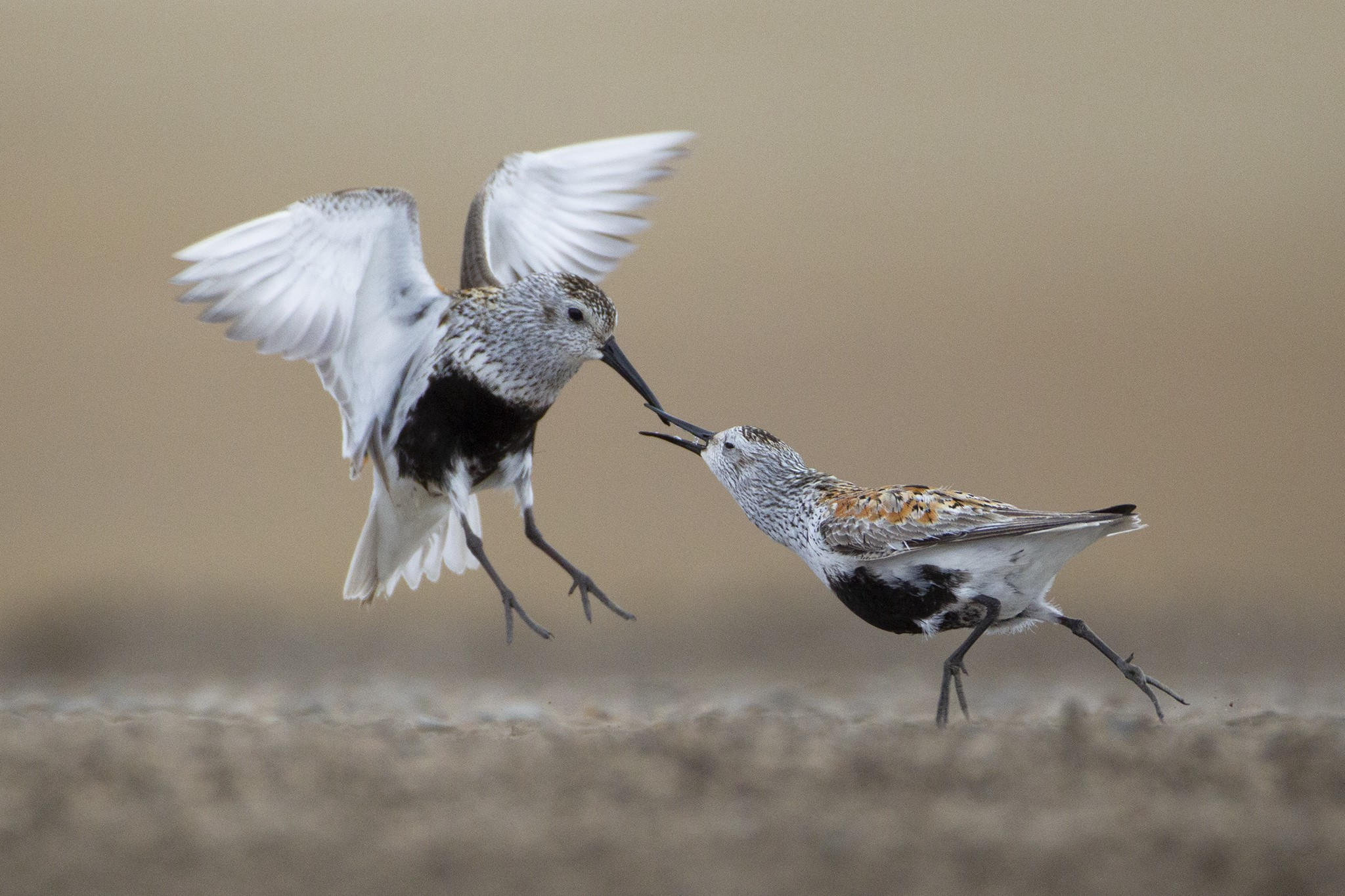 Two Dunlin sandpipers chase one another on a tundra road