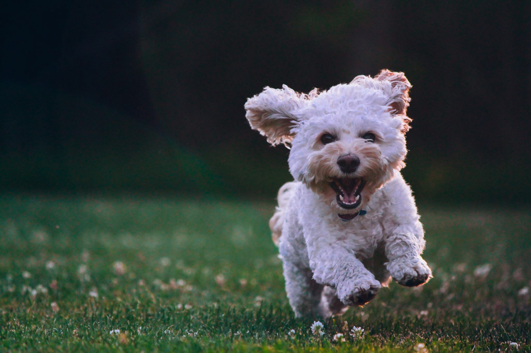 5 Small Hypoallergenic Dog Breeds For