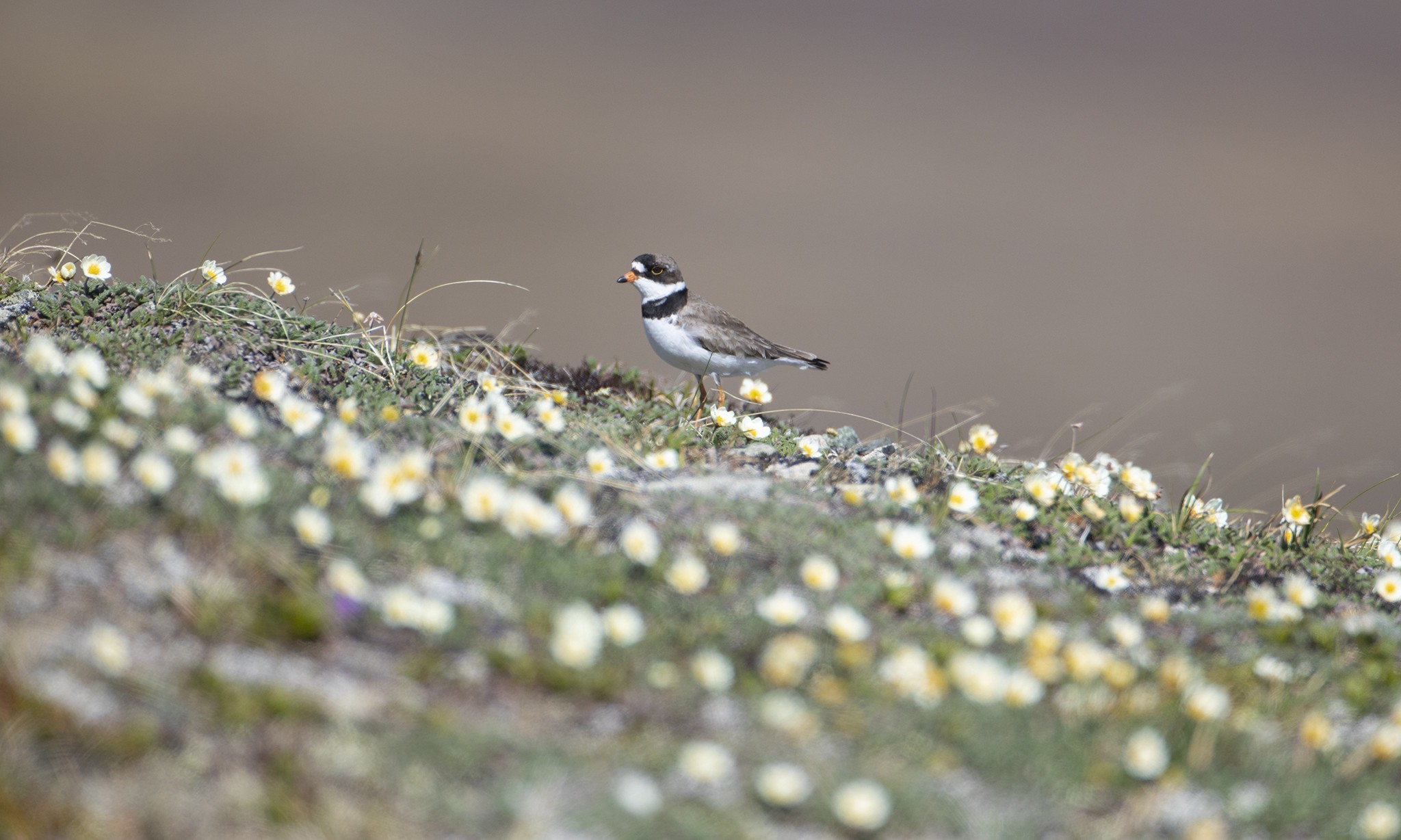 A Semipalmated Plover in a field of tundra wildflowers