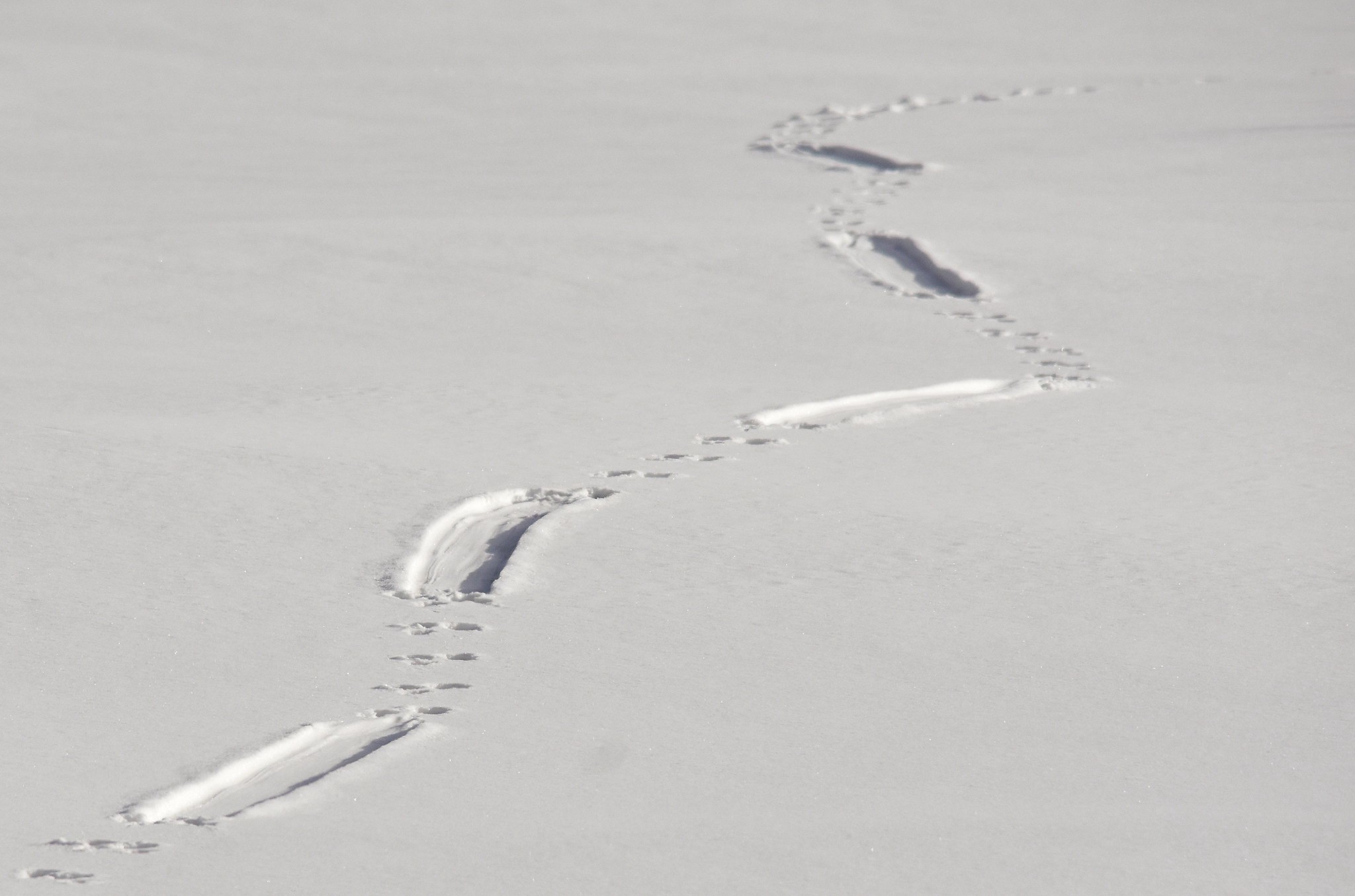 North American river otter tracks in the snow